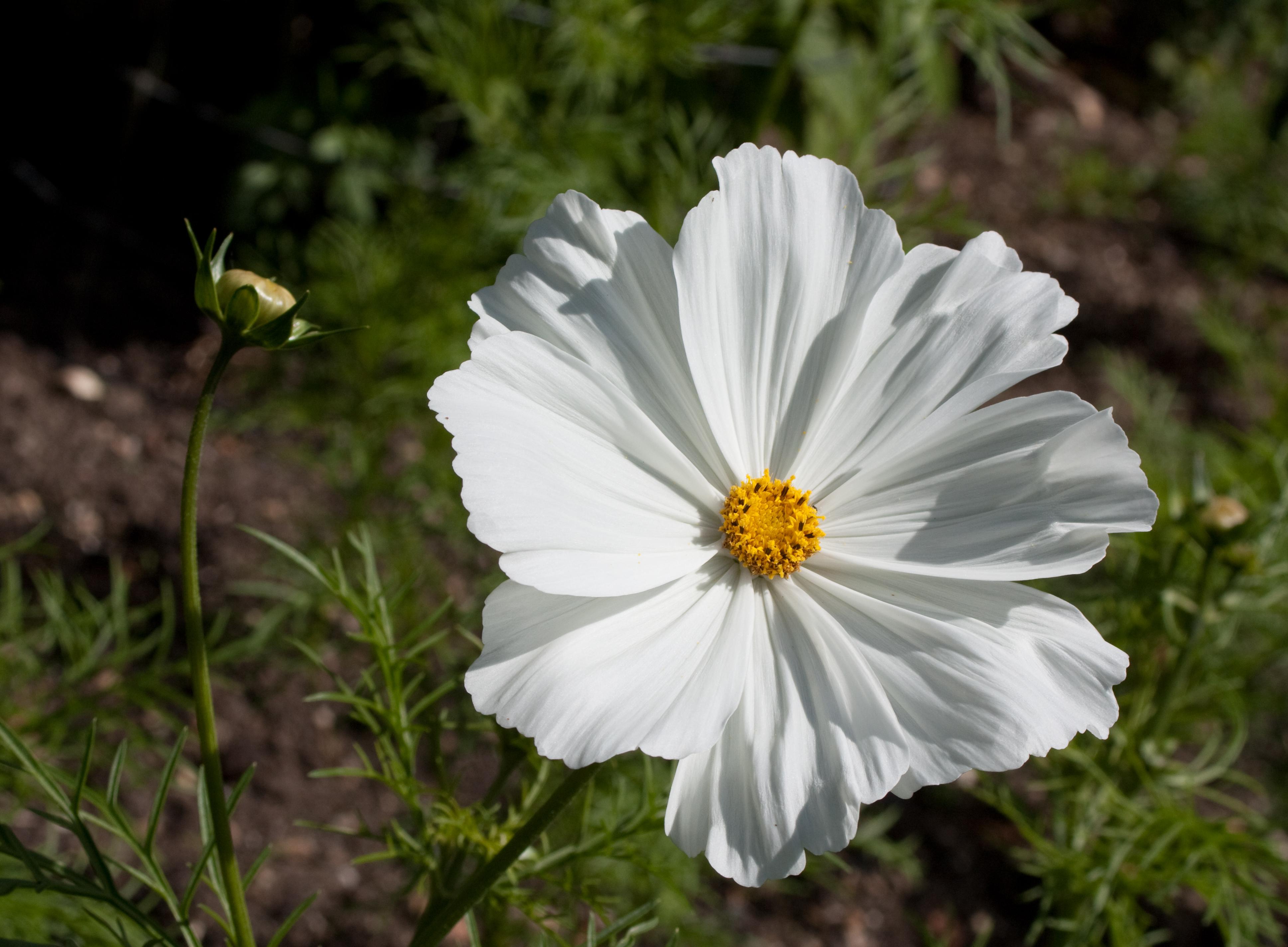 Filecosmos Bipinnatus Sonata Whiteg Wikimedia Commons