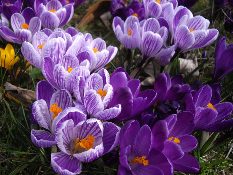 File:Crocus x vernus ' Pickwick' 3.JPG