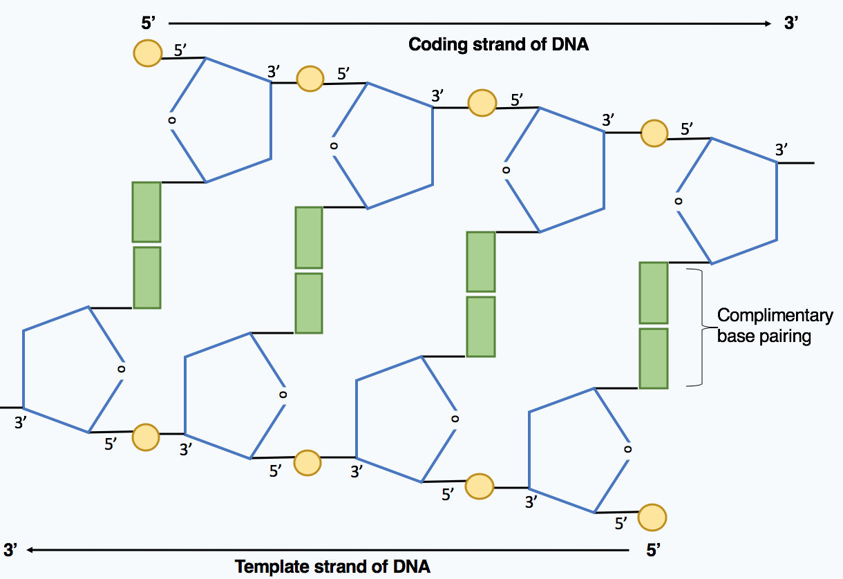 File Directionality Of Dna Molecule Png Wikimedia Commons