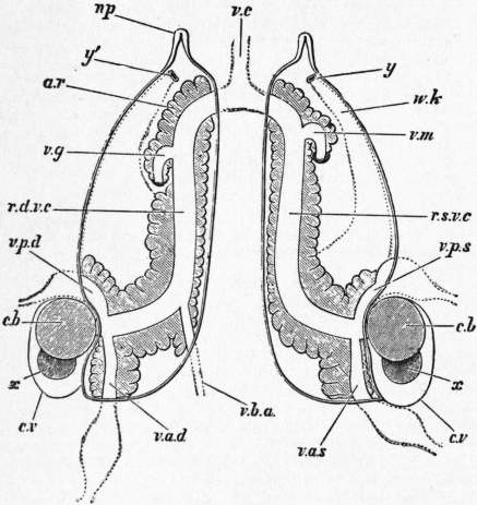 EB1911 Cephalopoda Fig. 29.—Nephridial sacs in Sepia officinalis.jpg