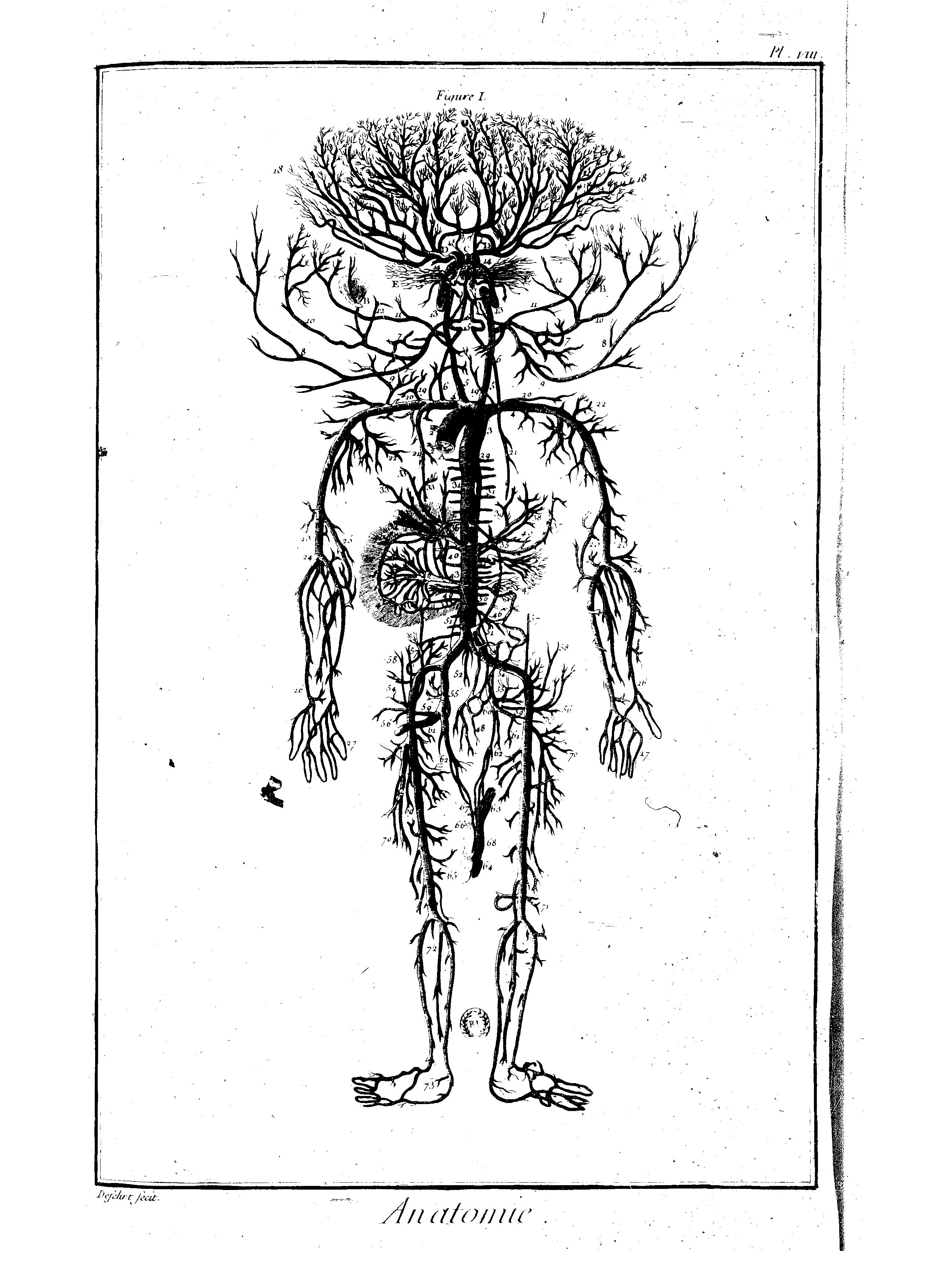 encyclopedie anatomie