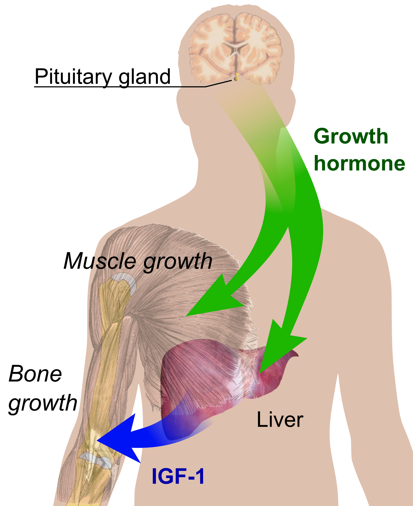 [Image: Endocrine_growth_regulation.png]