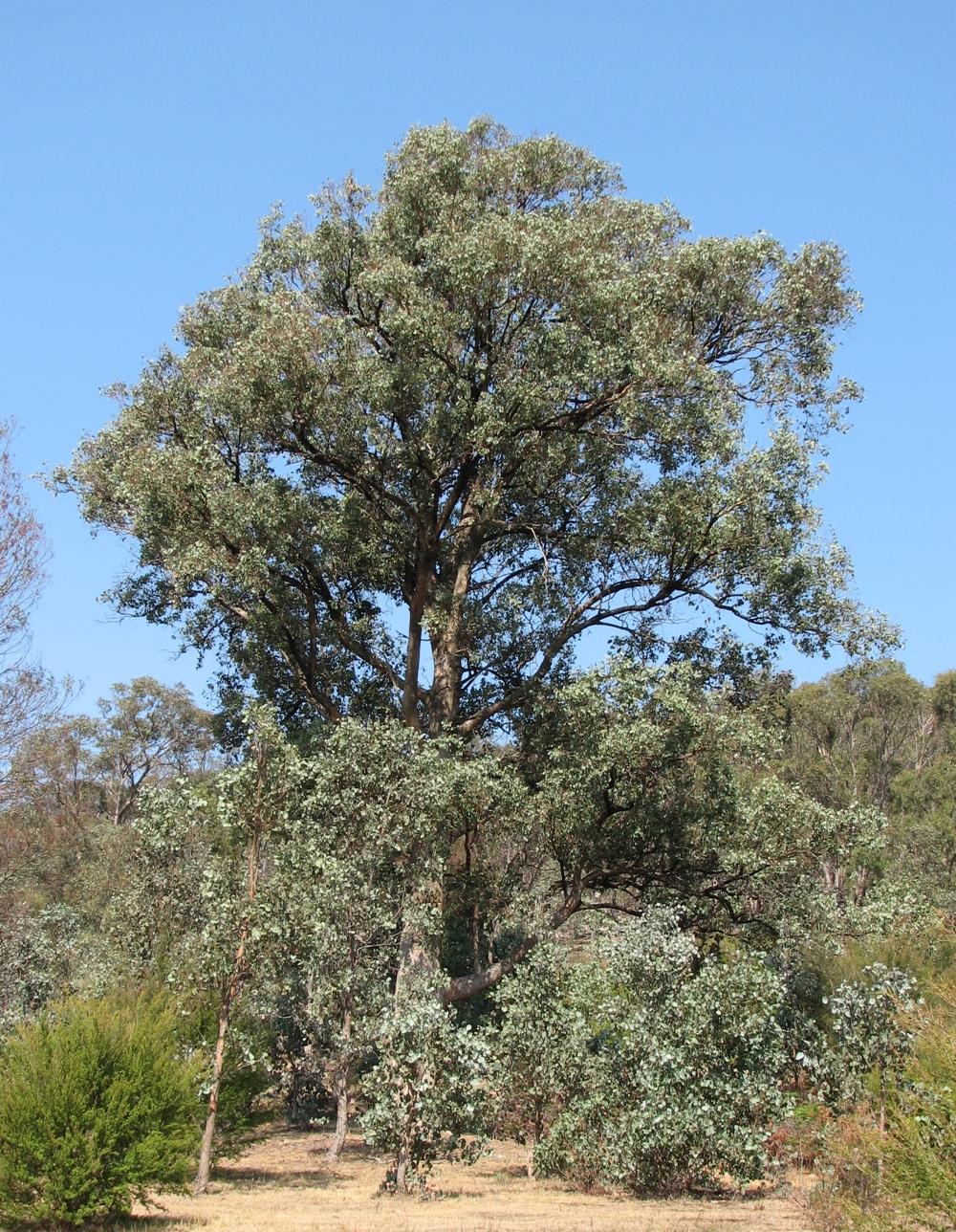 eucalyptus polyanthemos wikipedia. Black Bedroom Furniture Sets. Home Design Ideas