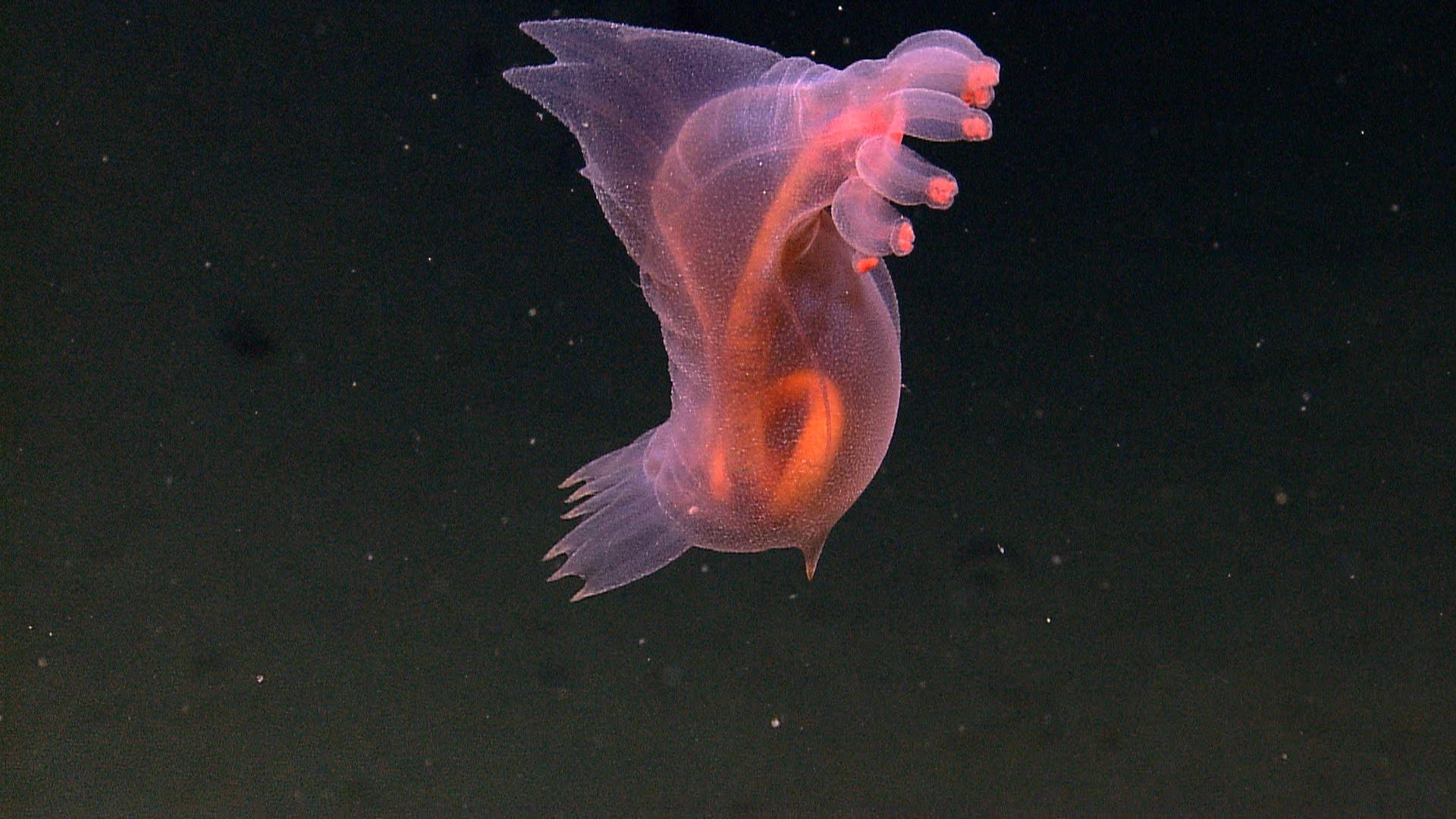 Animal Translucido Wikipedia La Enciclopedia Libre