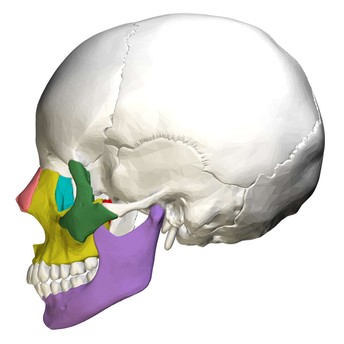Filefacial Bones Lateral View03g Wikimedia Commons