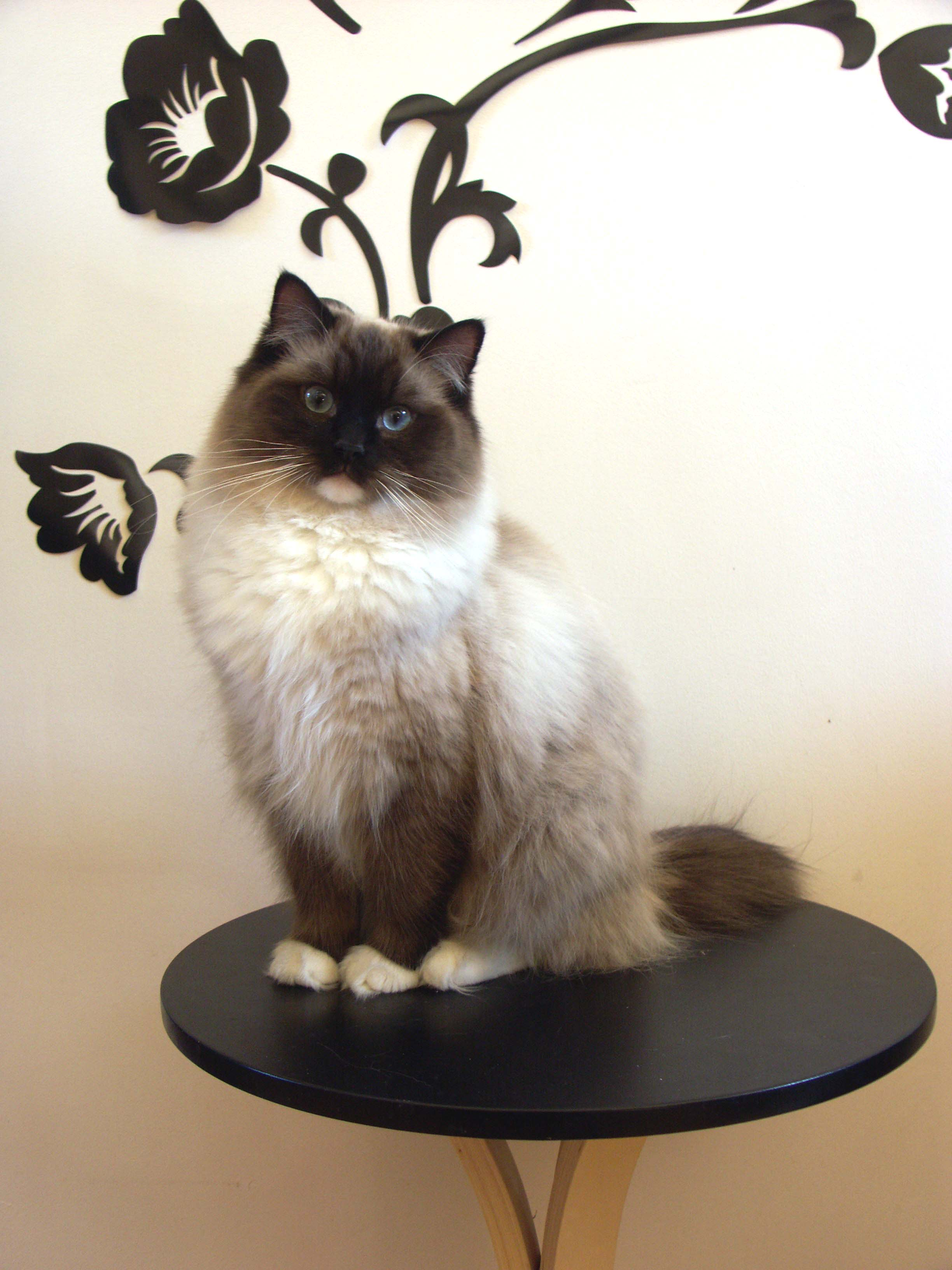 Flame Point Himalayan (Ragdoll catscentral t...