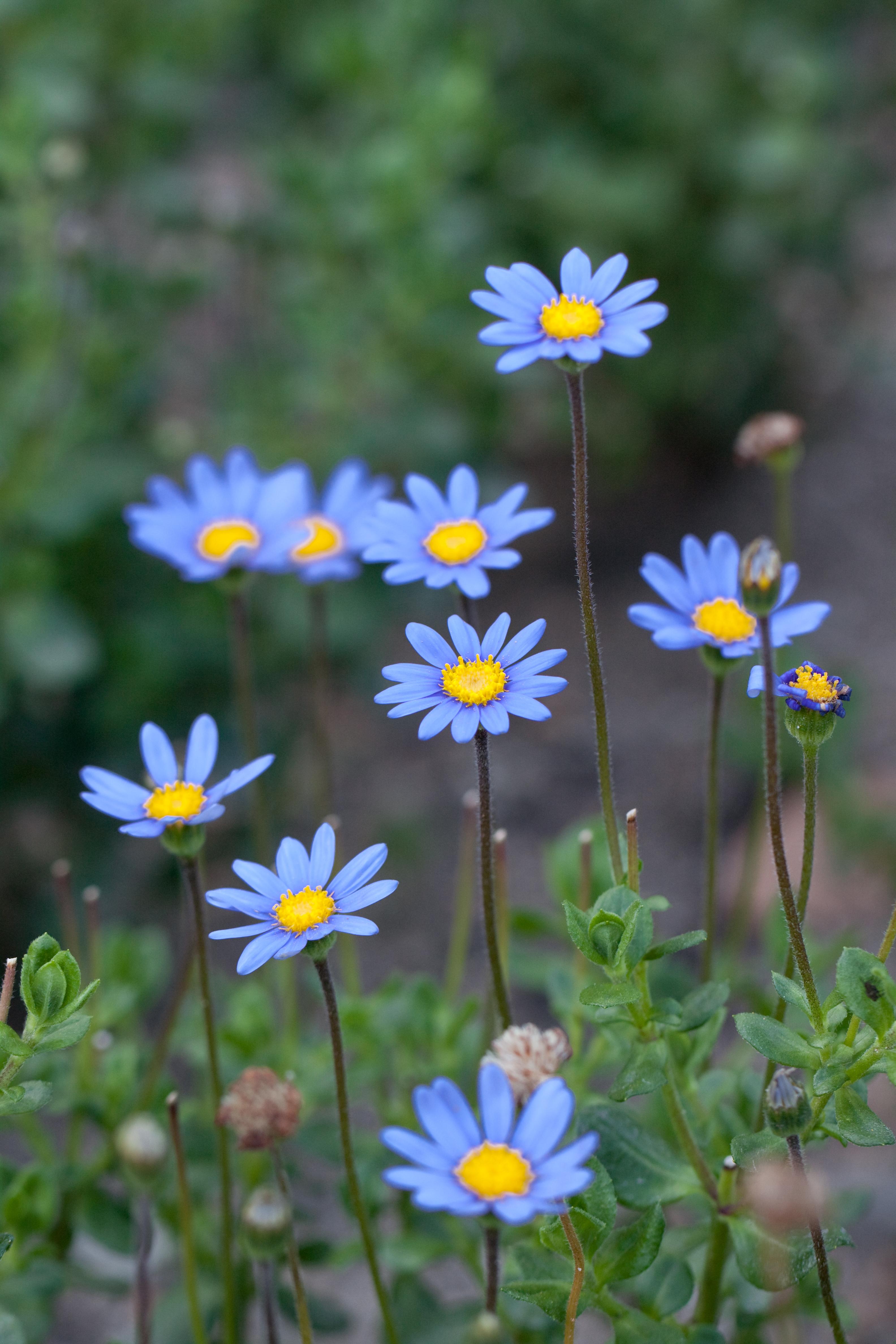 Fileflower Blue Daisy Flickr Nekonomaniag Wikimedia Commons