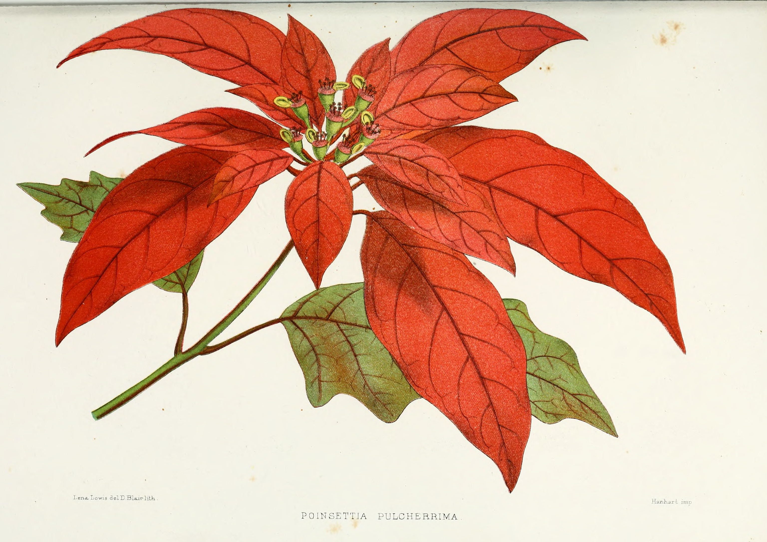 File Flower poinsettia pulcherrima