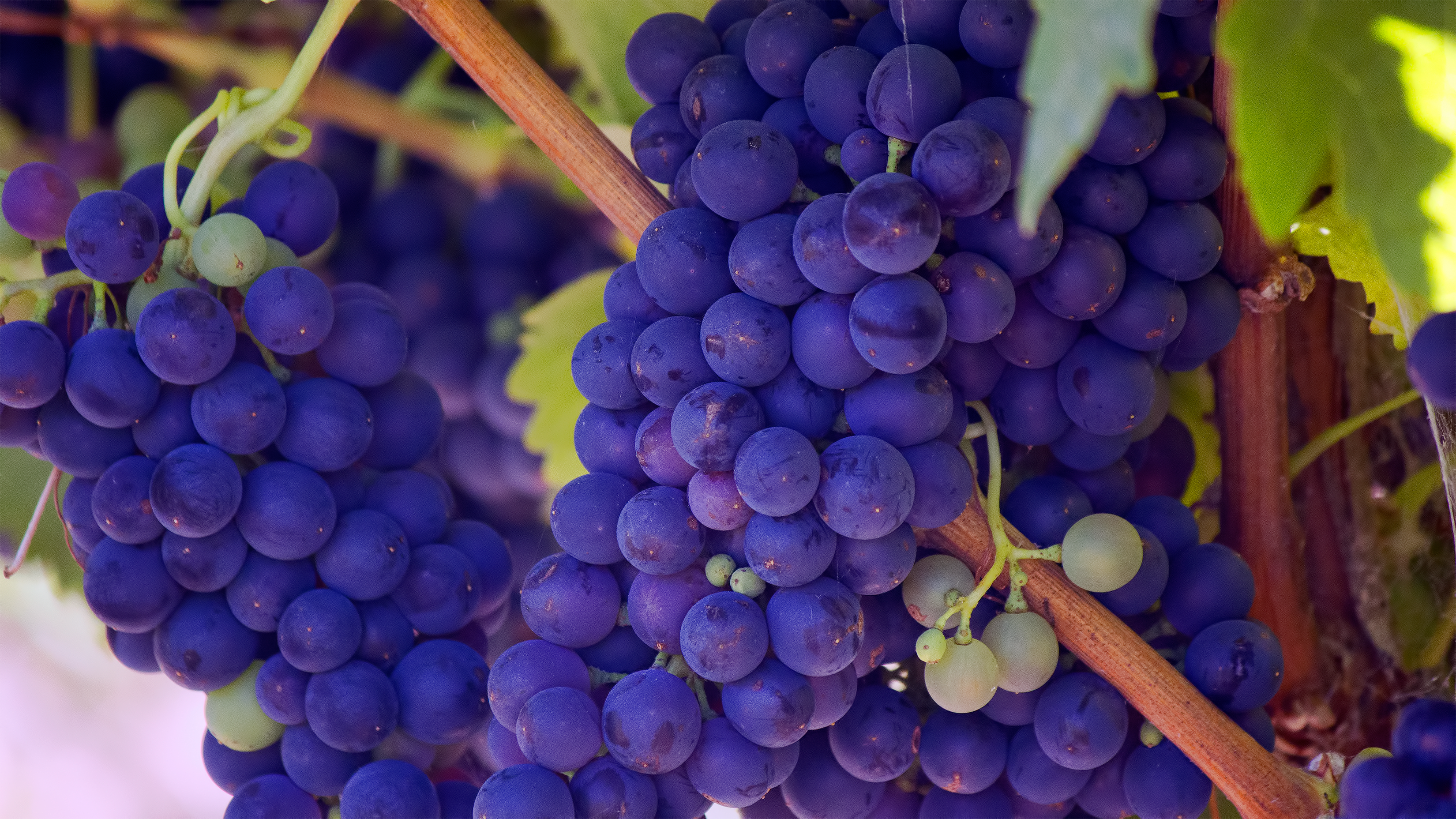 Future wine on vine (Unsplash).png