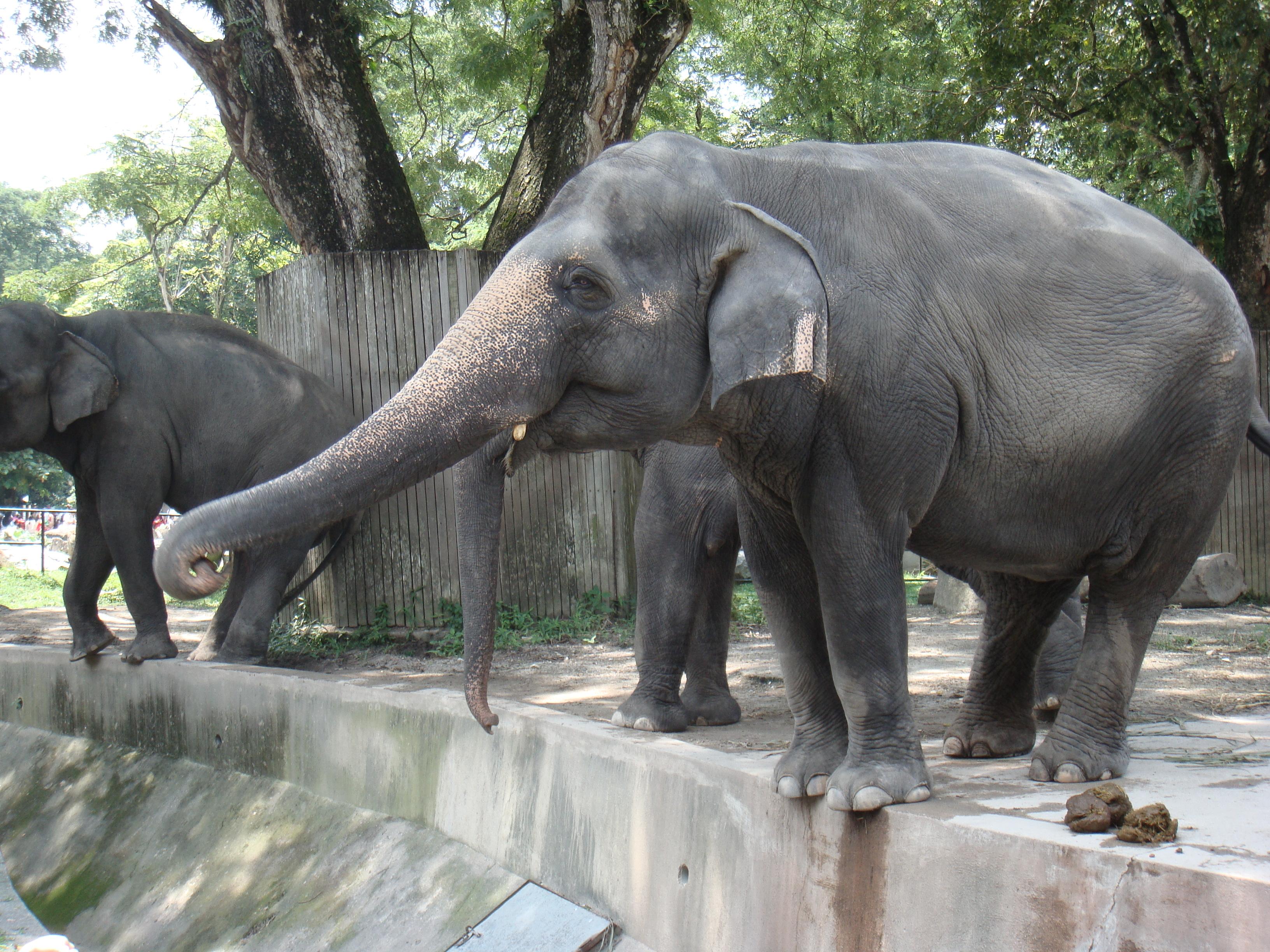 File Gajah Di Zoo Negara Malaysia Jpg Wikimedia Commons