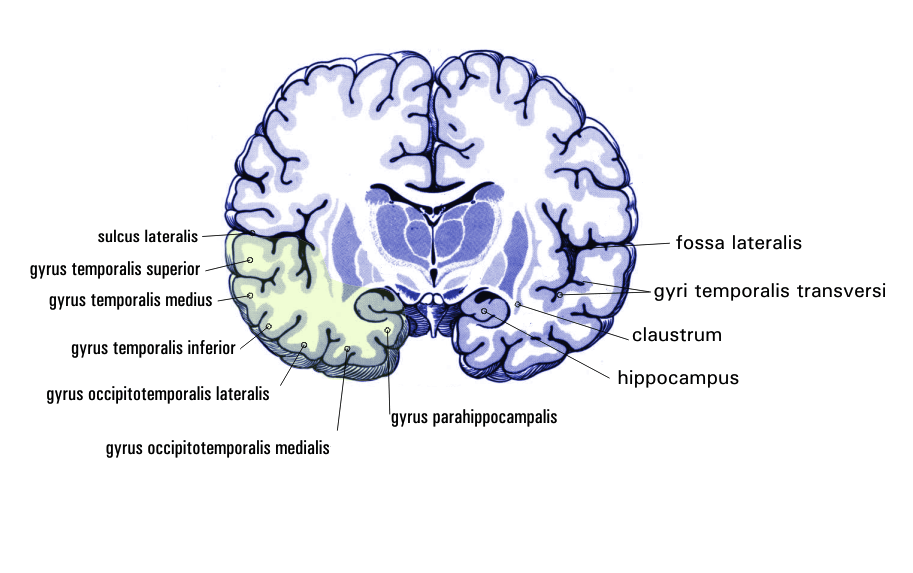 File Gehirn Frontalschnitt Hippocampus Png Wikimedia Commons