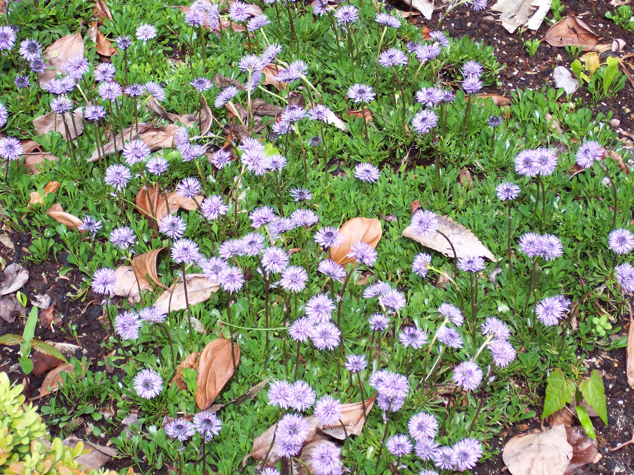 File:Globularia cordifolia.jpg - Wikimedia Commons