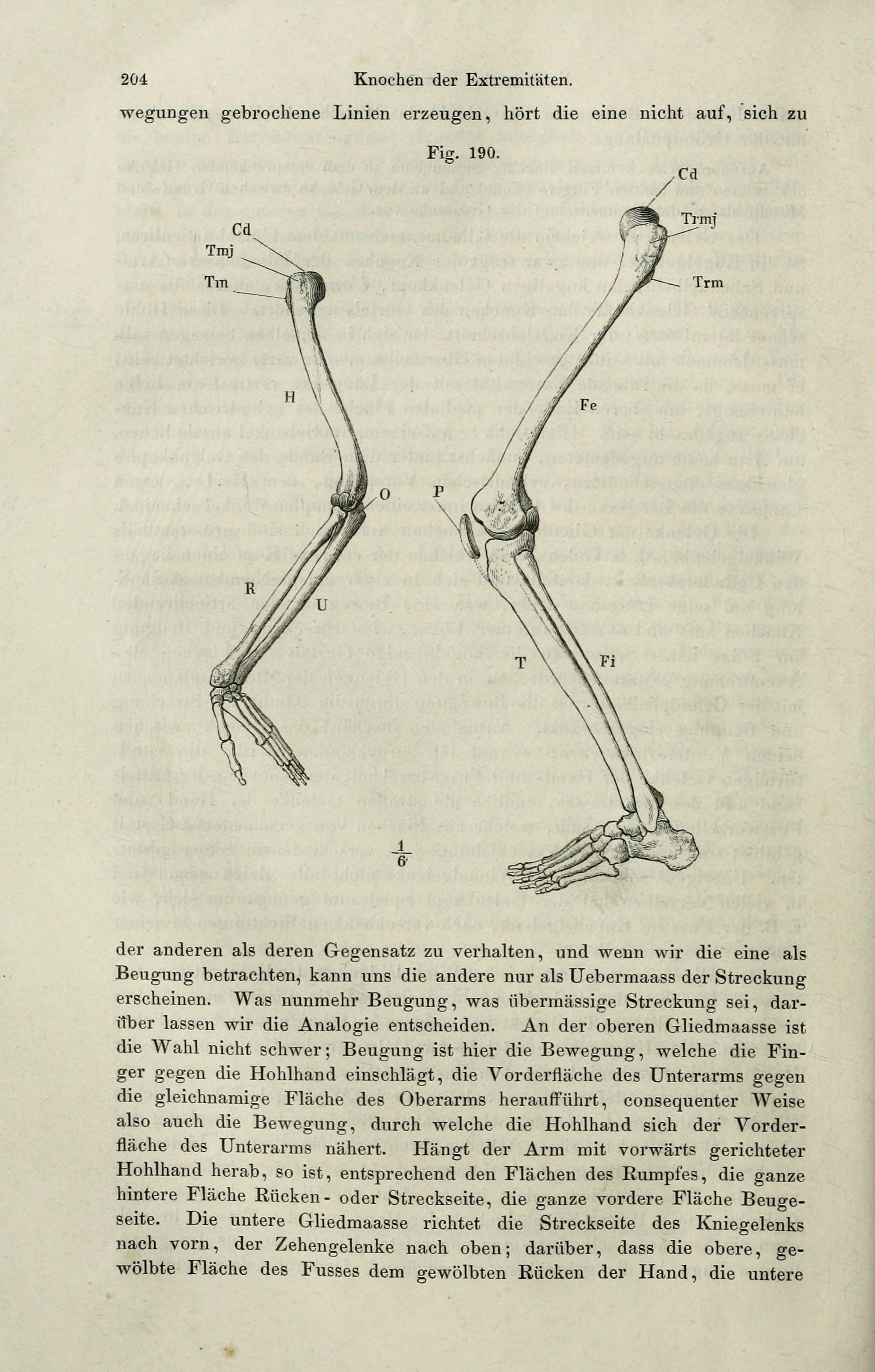File:Handbuch der systematischen Anatomie des Menschen (Page 204 ...