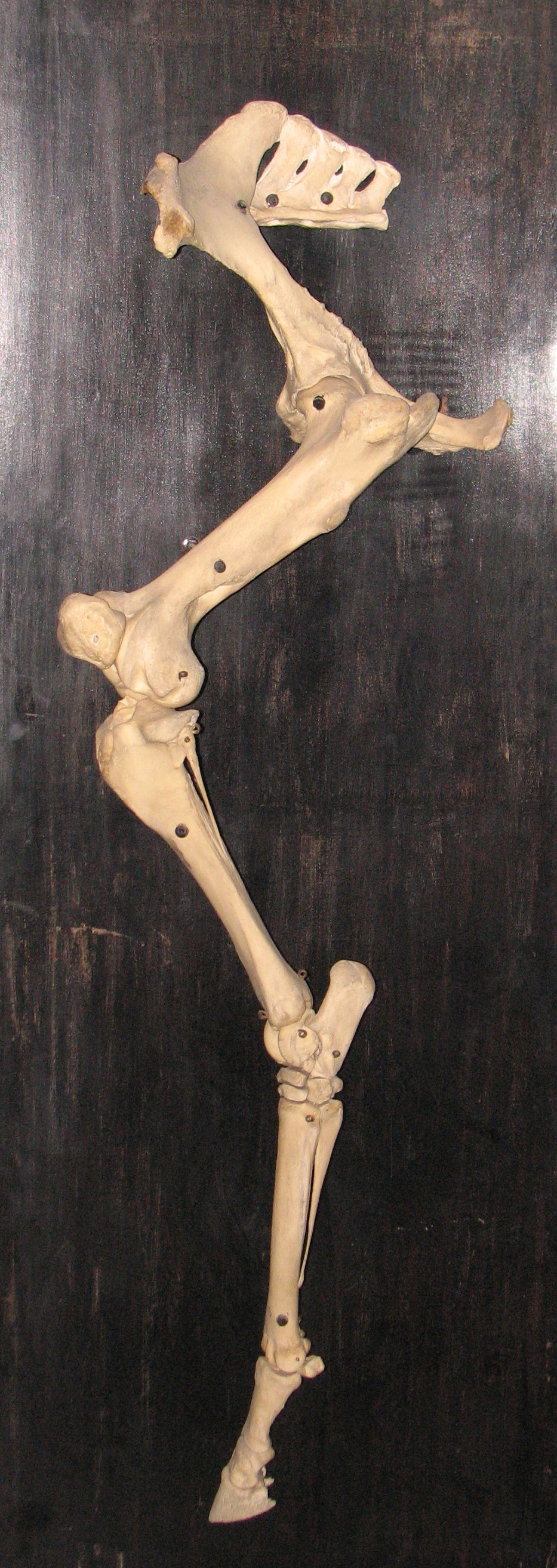 Skeletal system of the horse - Wikiwand