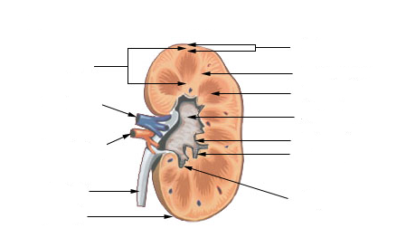 File:Kidney structure neutral.png - Wikimedia Commons