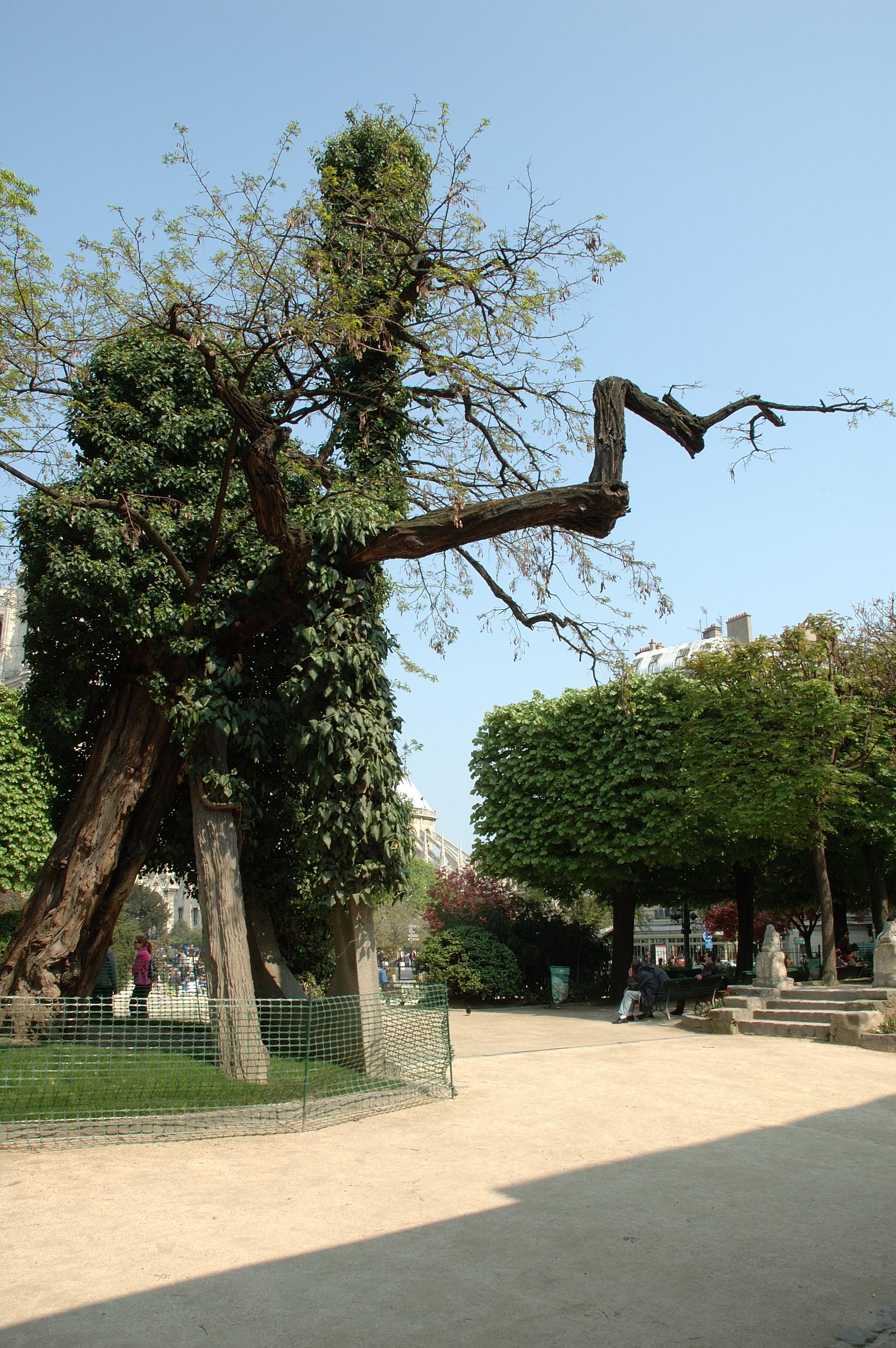 Le robinier du square René-Viviani, un des plus vieux arbres de Paris dans le Square René-Viviani - Montebello.jpg