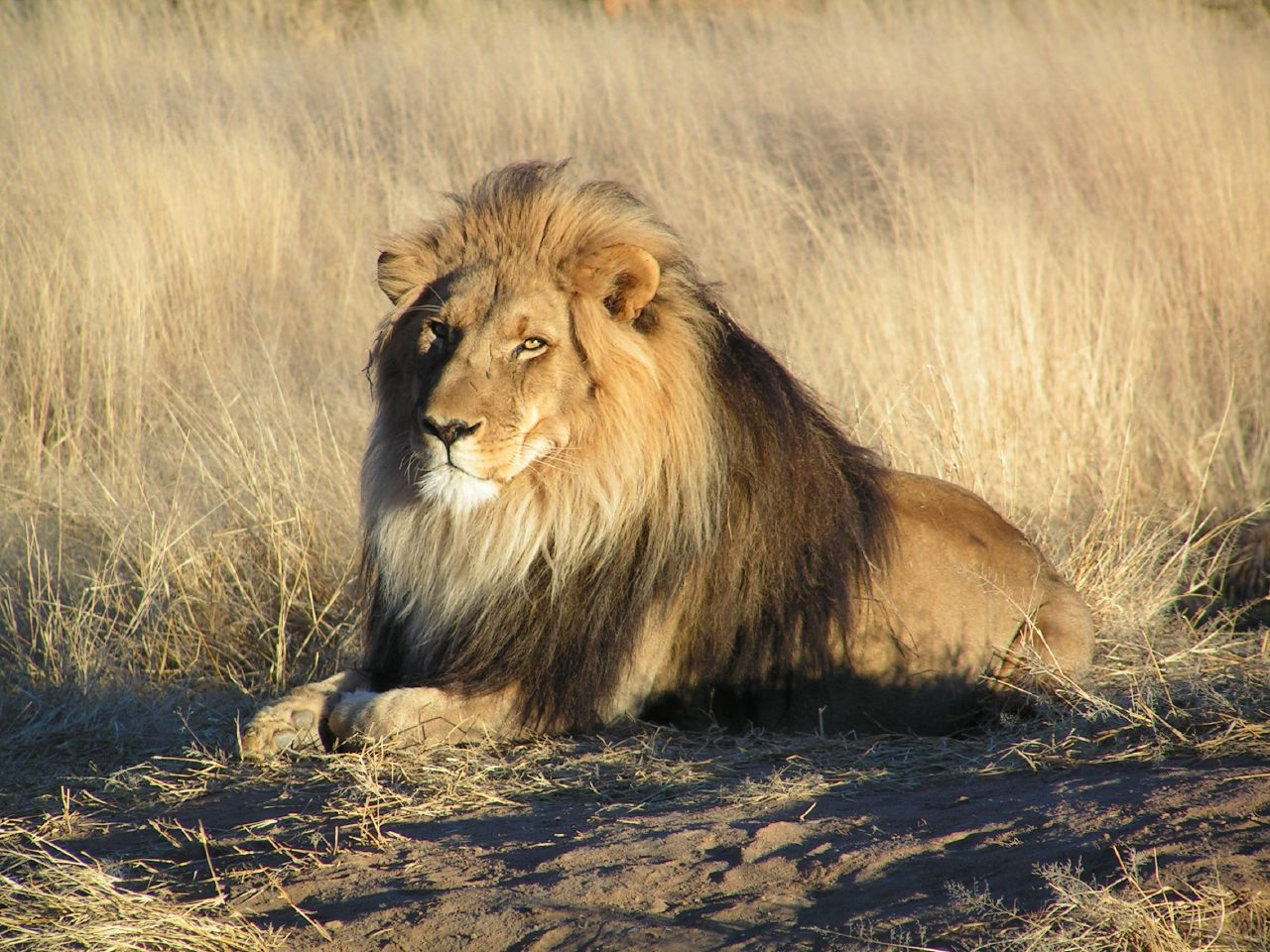 Lion waiting in Namibi...