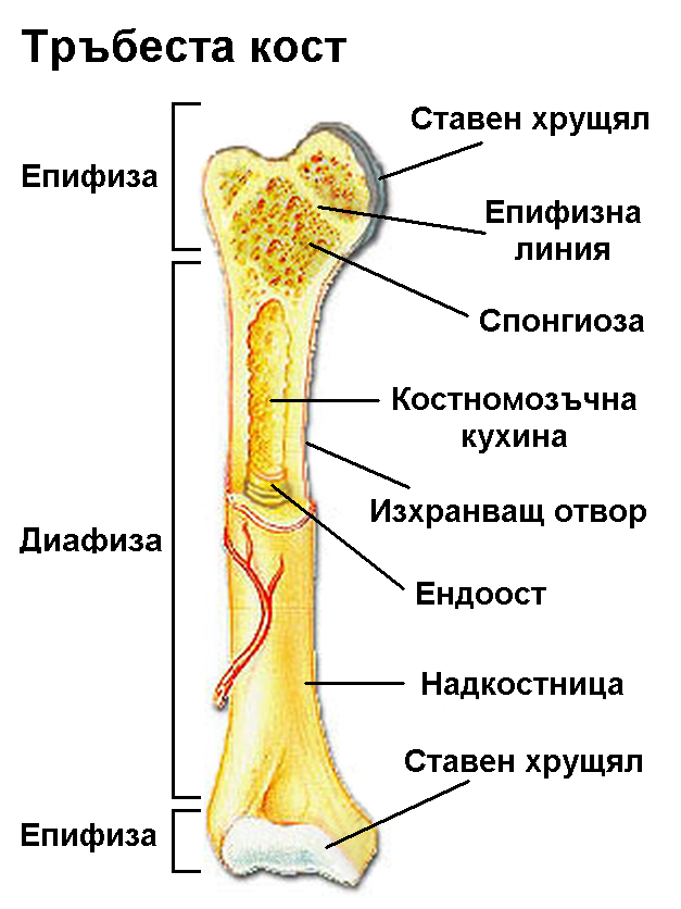 Long_bone