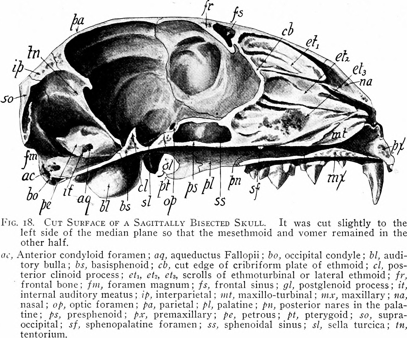 File:Mammalian anatomy - with special reference to the cat (1910 ...