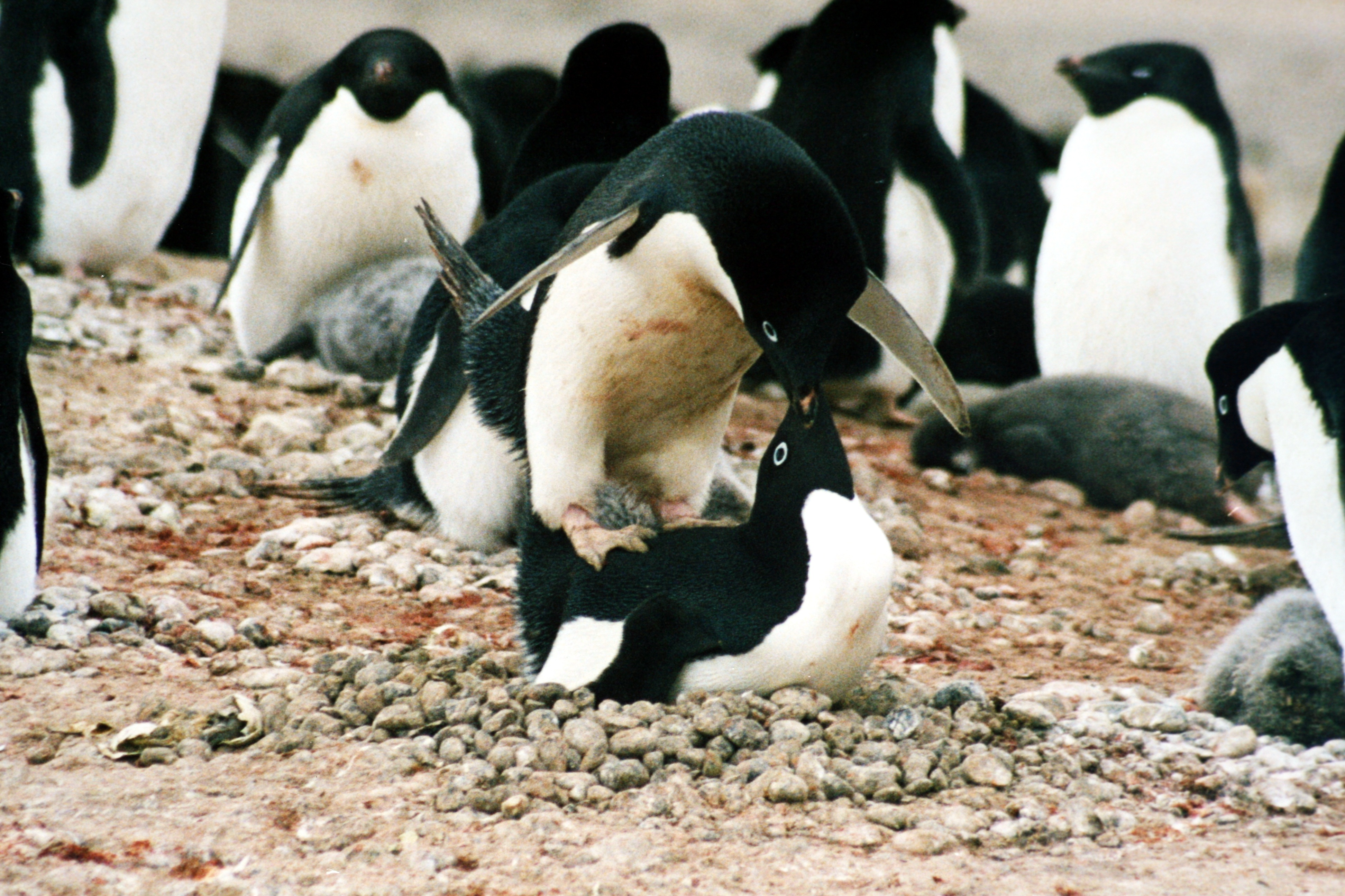 File:Mating adele.JPG - Wikipedia