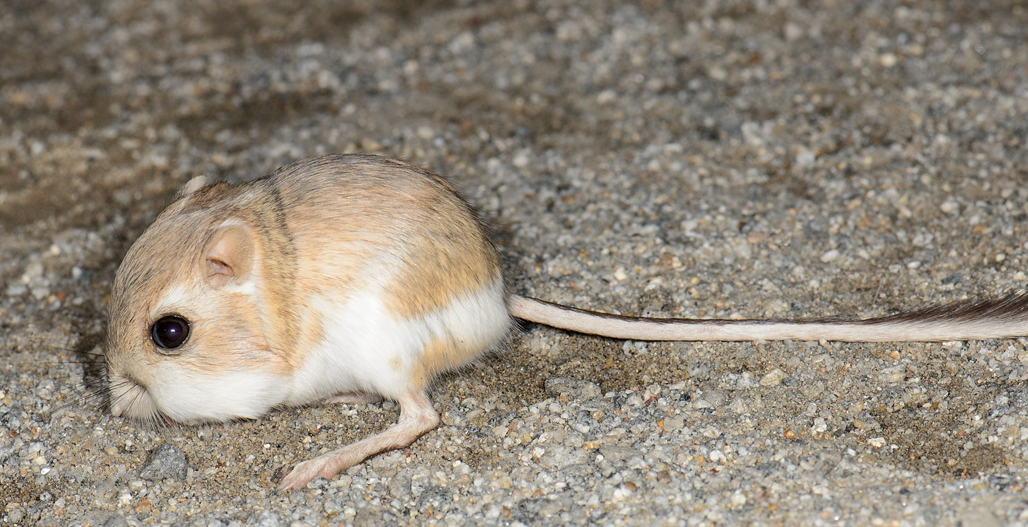 File:Merriam's kangaroo rat (Dipodomys merriami, F ...
