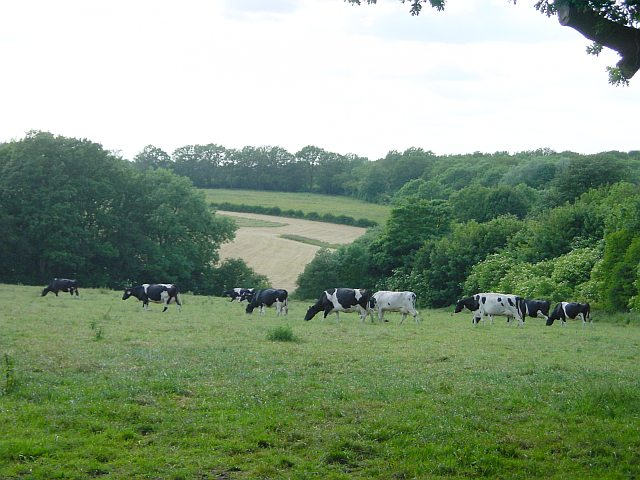 File:Milking herd near Hollingbourne Station - geograph.org.uk - 21309.jpg