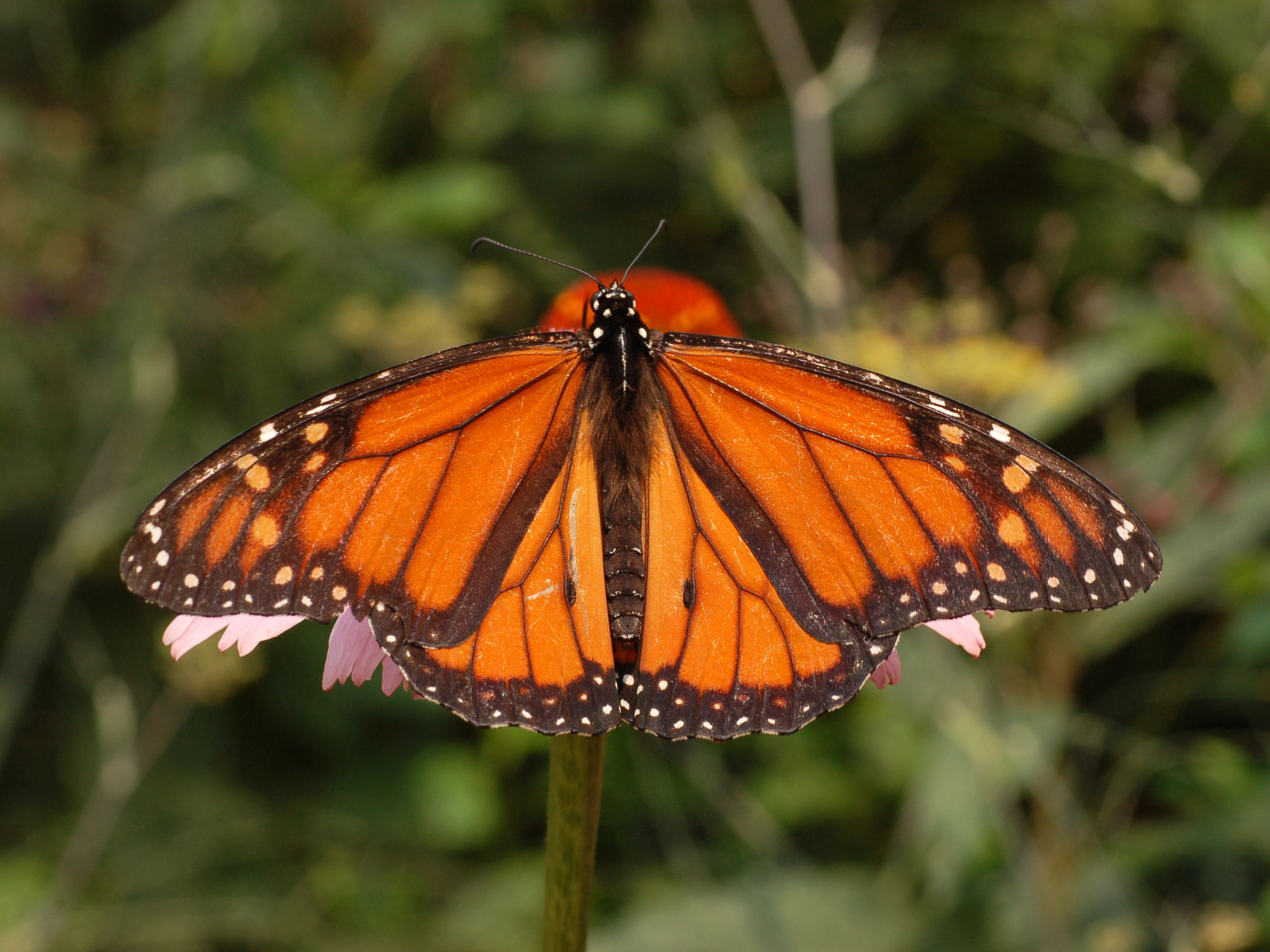 File:Monarch Butterfly Danaus plexippus Male 2664px.jpg ... - photo#20