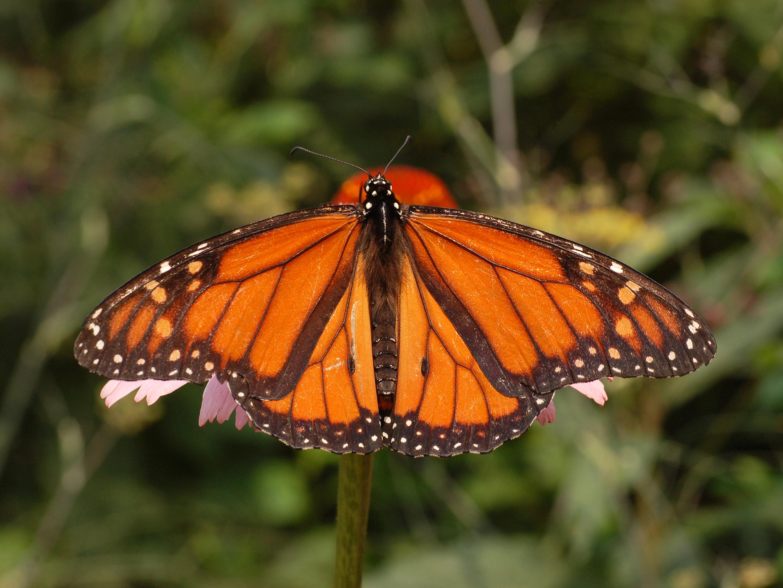 File Monarch Butterfly...