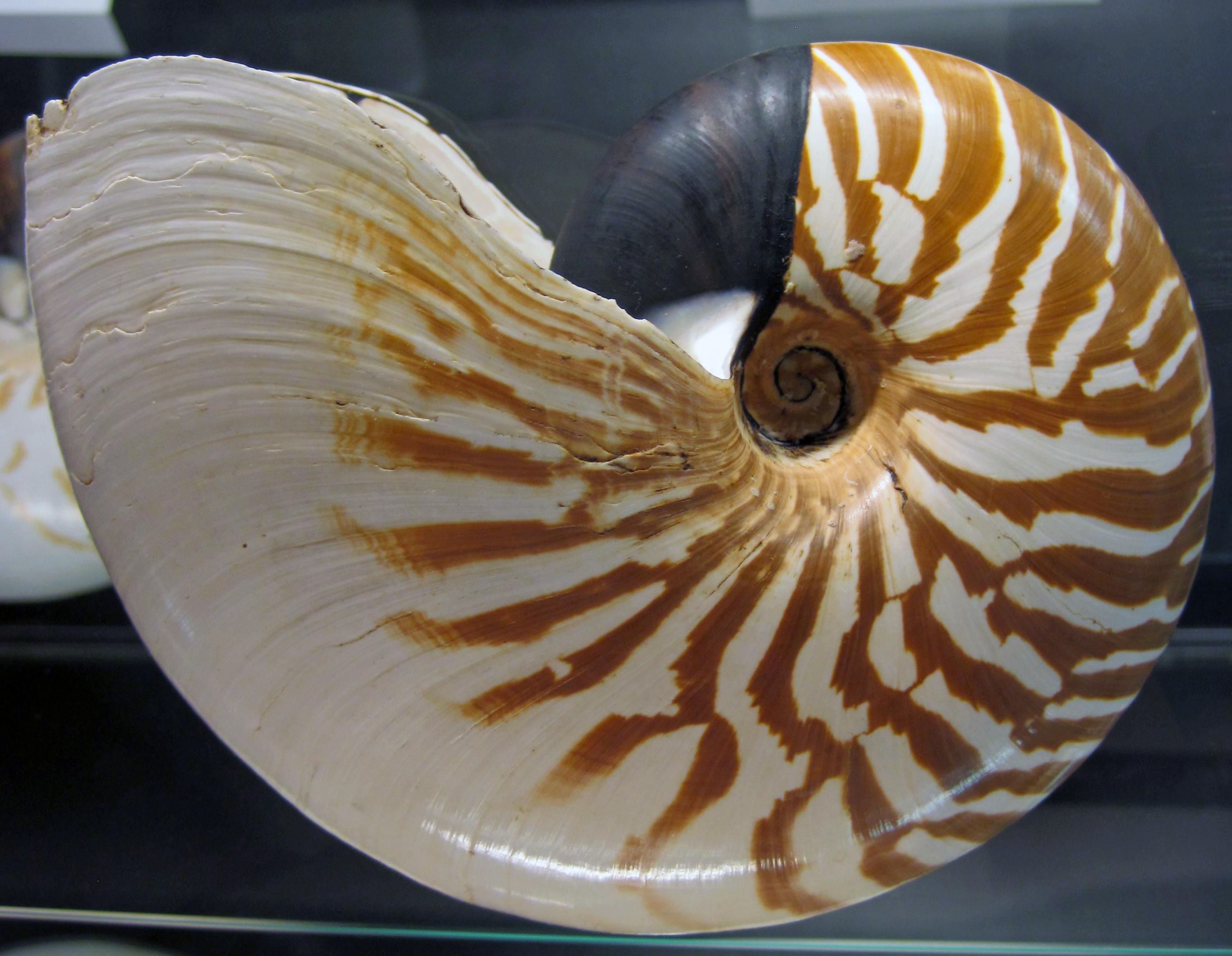 file nautilus stenomphalus white patch nautilus mindanao