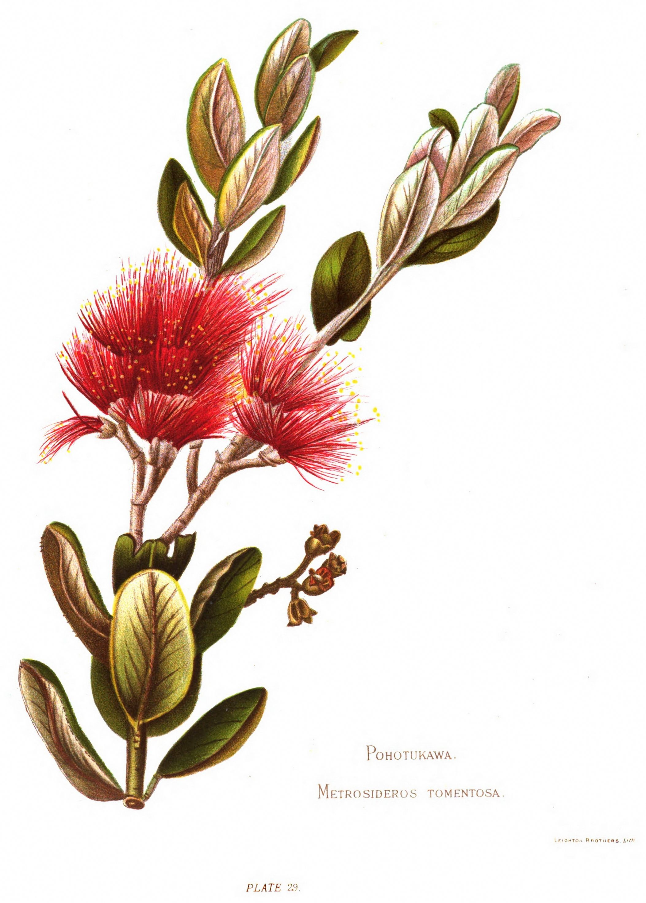 native flowers of new zealand  plate 29