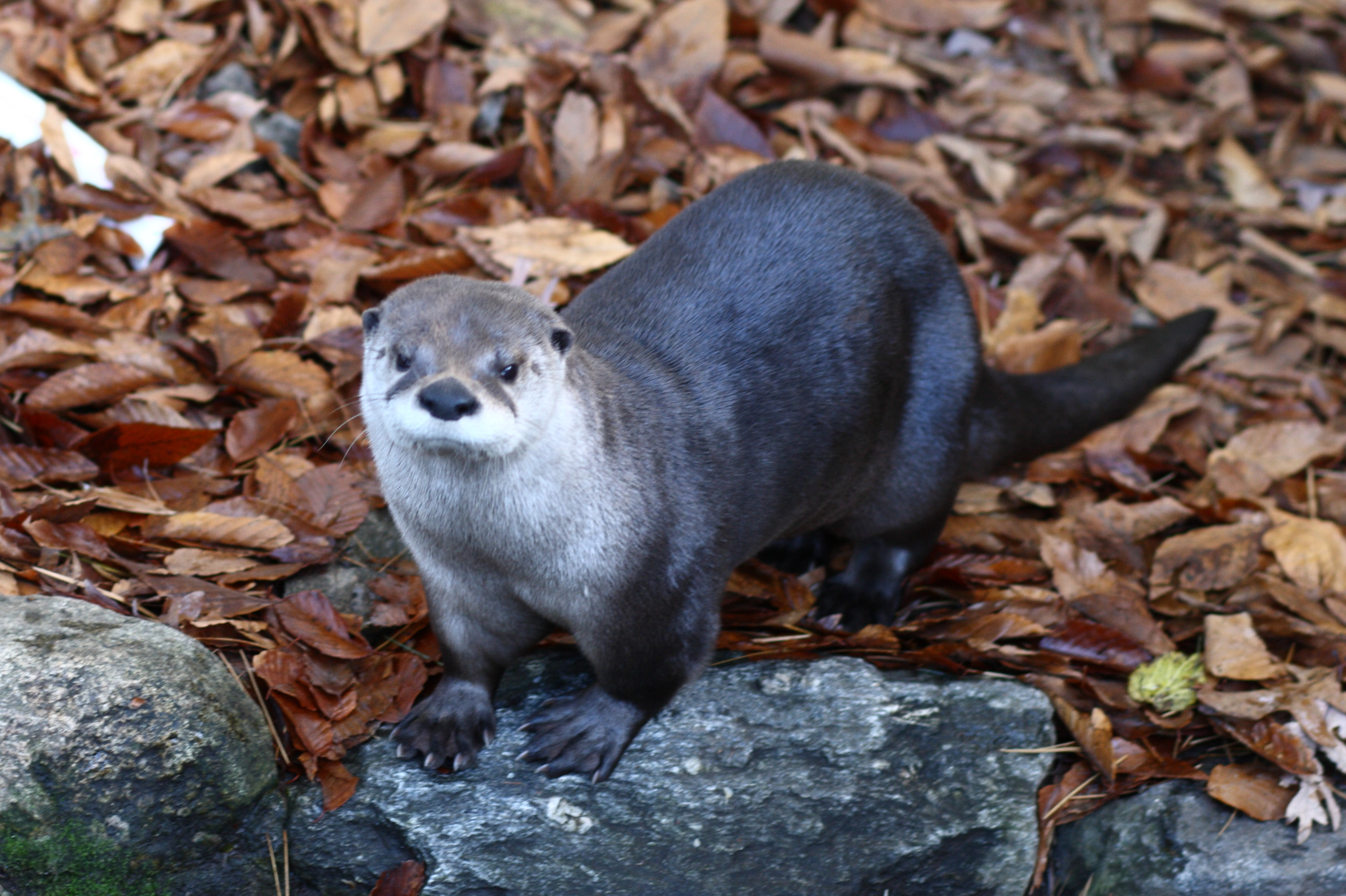 Living habits of River Otter : Taiga Animals
