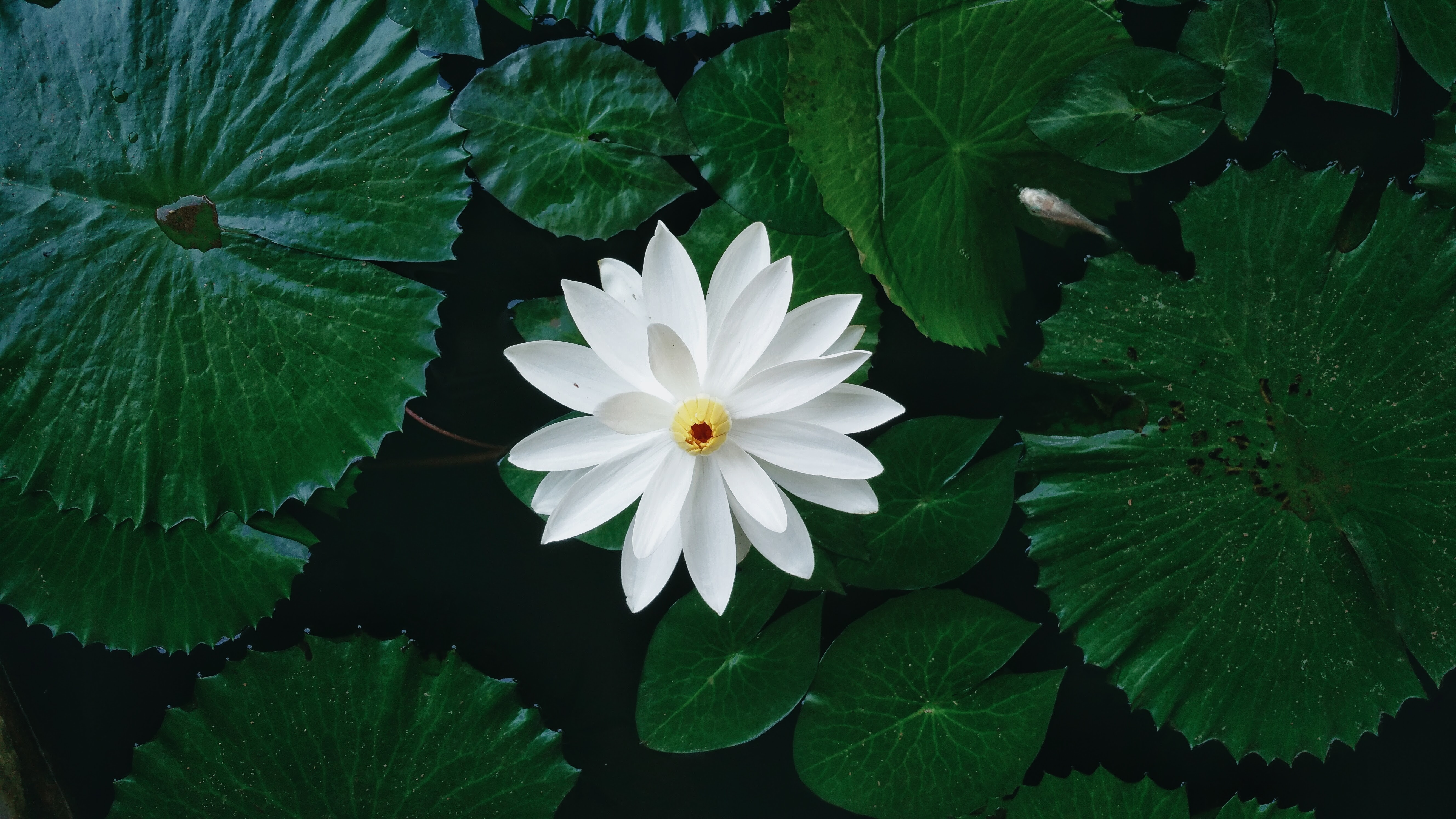 Nymphaea lotus wikiwand mightylinksfo