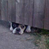 Dog peeking under fence