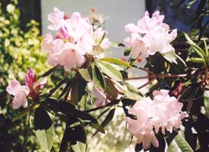 Le Rhododendron Palepinkrhododendron