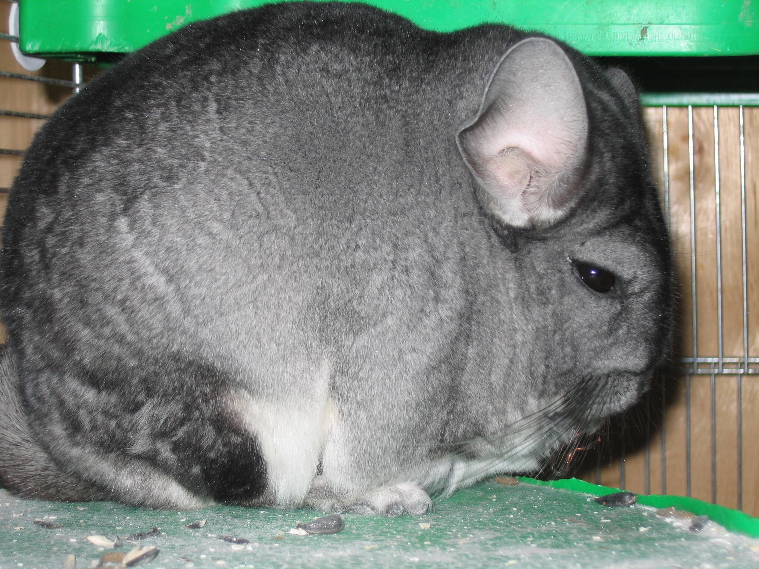 https://upload.wikimedia.org/wikipedia/commons/7/73/Pet_Chinchilla.jpg