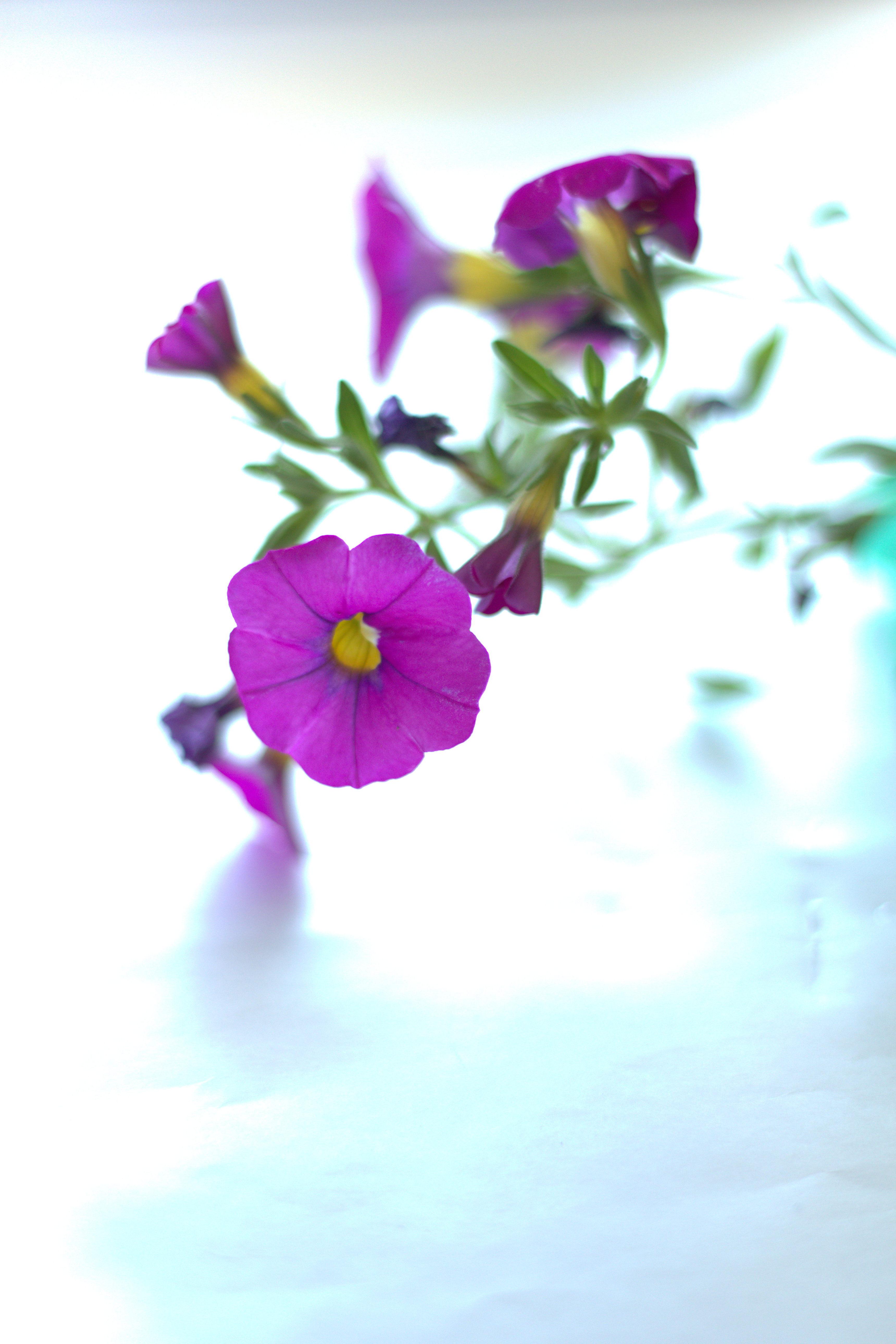 Piante Rustiche Da Balcone petunia - wikipedia