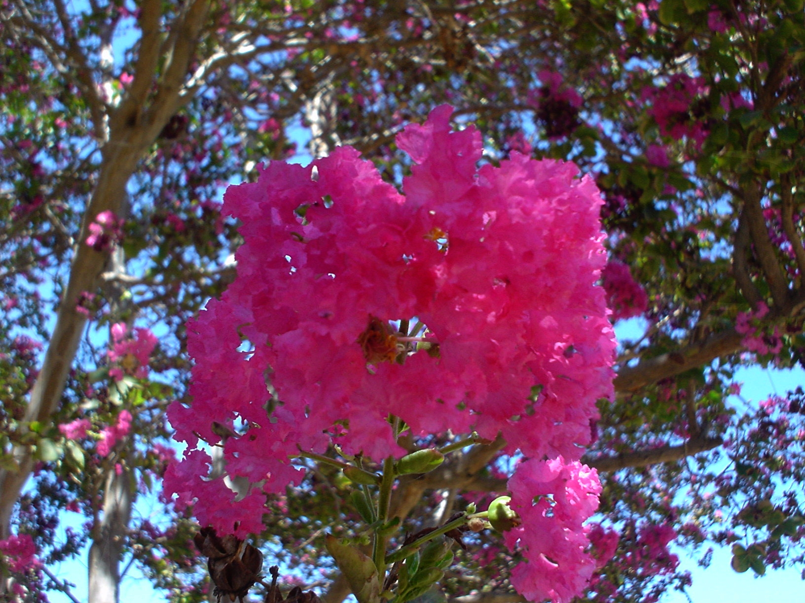 The gallery for --> Pink Flowering Trees Identification