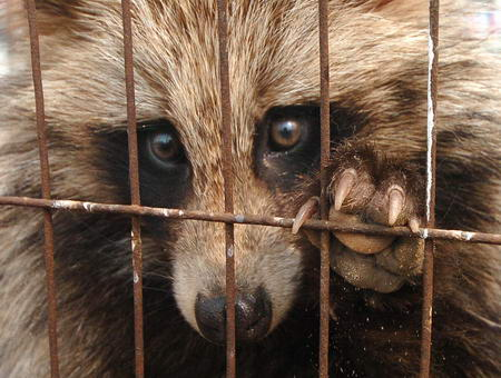 gullible raccoon dog range bluenative redintroduced wiki httpen wikipedia orgwiki