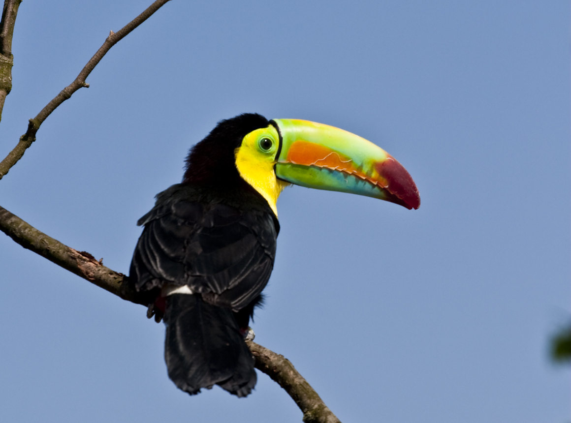 https://upload.wikimedia.org/wikipedia/commons/7/73/Ramphastos_sulfuratus_-Diergaarde_Blijdorp-8a_crop.jpg