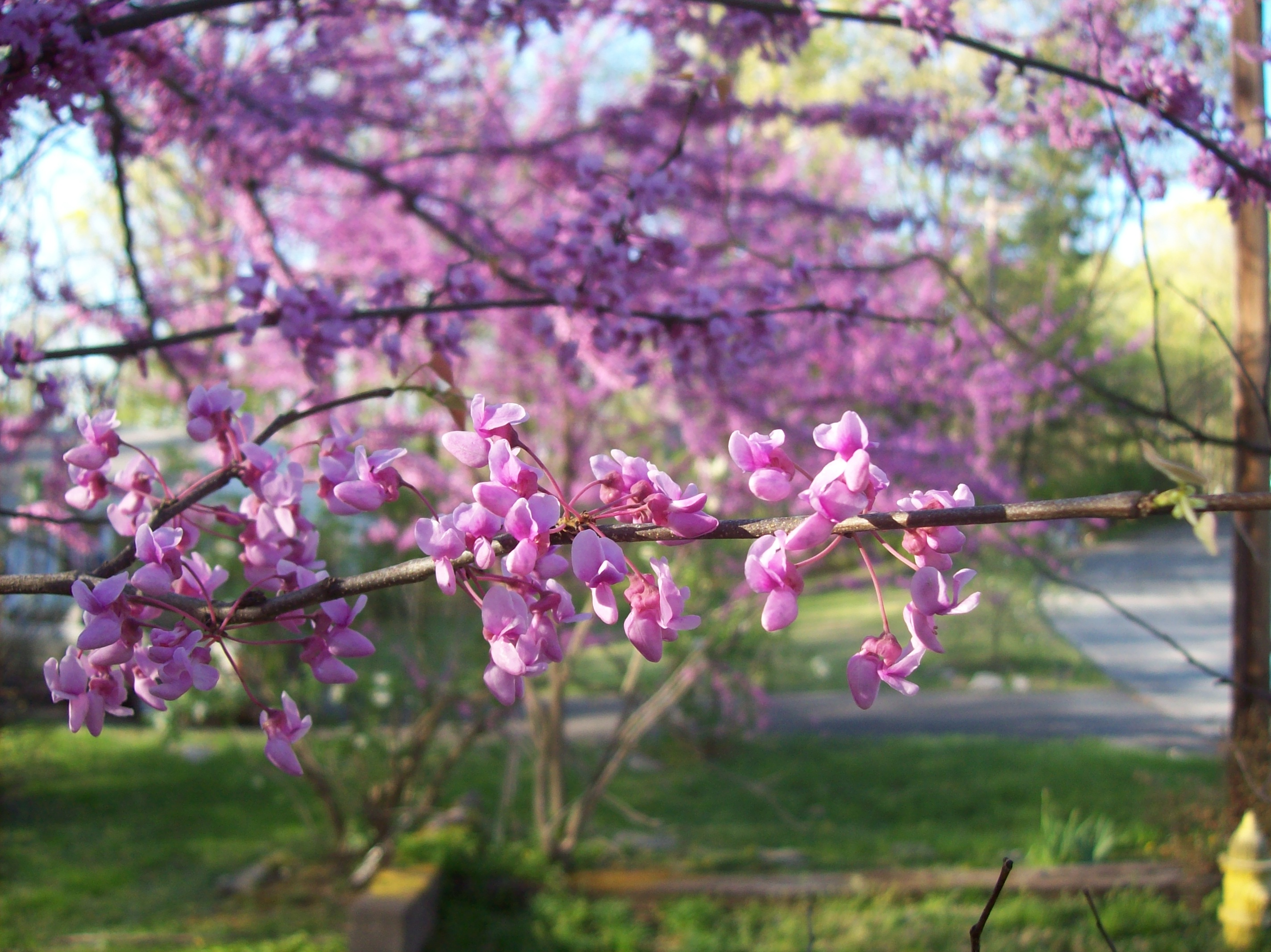 red bud The redbud is a poplar ornamental tree, which can be found in many gardens and streetscapes the tree is one of the earliest flowering trees and is often used to add.