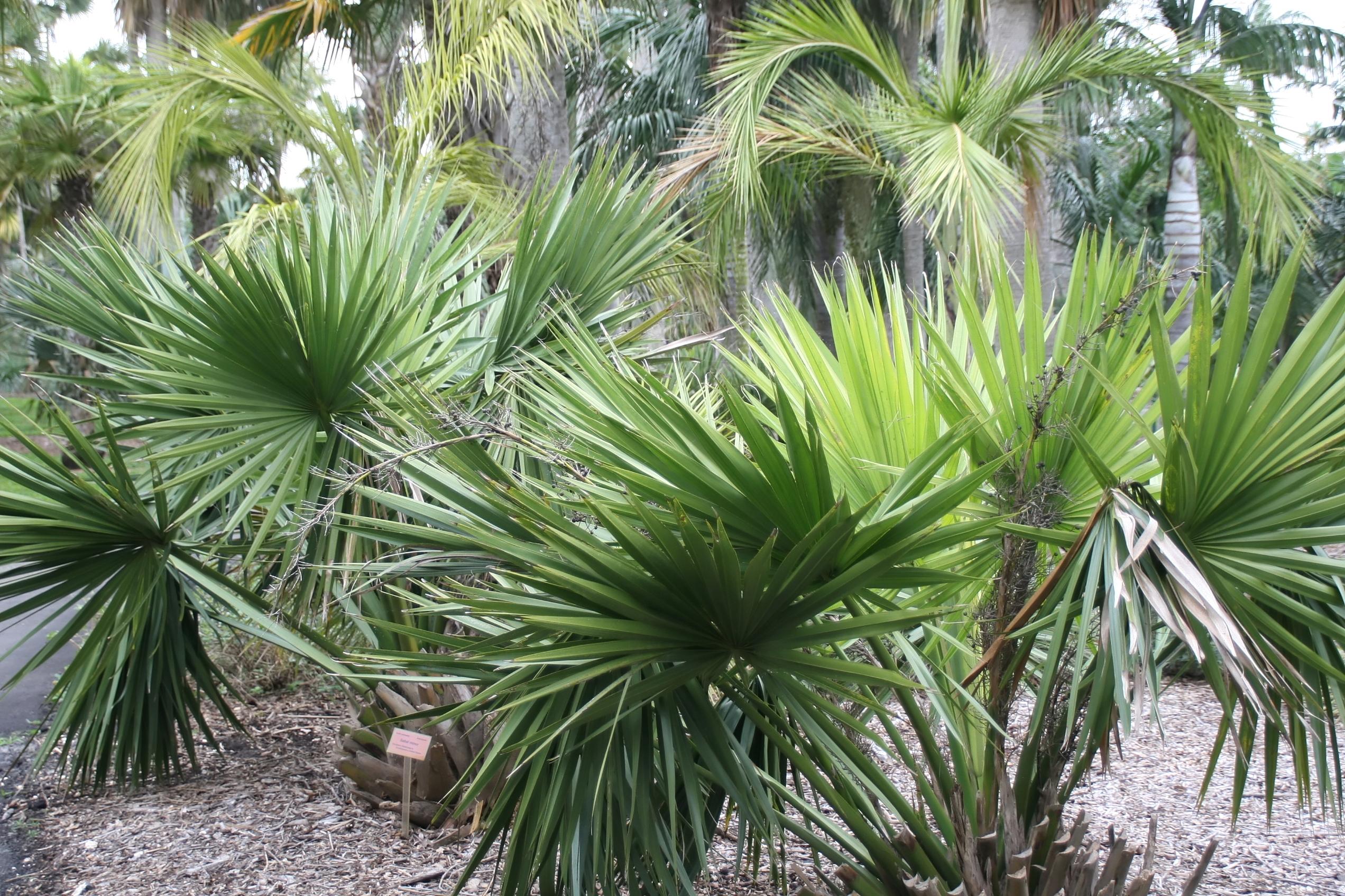 Znalezione obrazy dla zapytania palma sabałowa