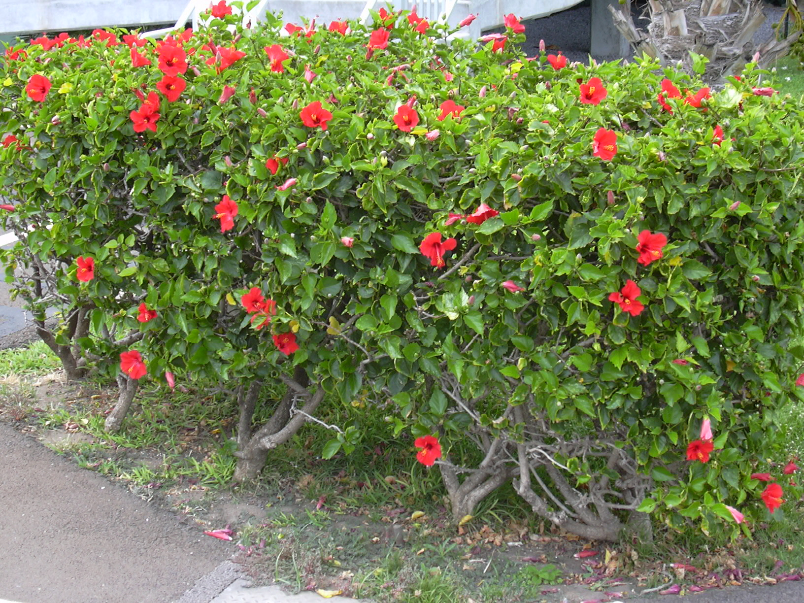File starr 030612 0073 hibiscus rosa for Hibiscus rosa sinensis