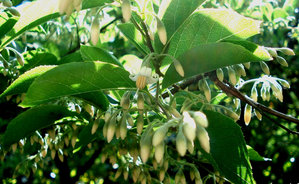 Styrax dasyanthus - blossoms, buds, leaves.JPG