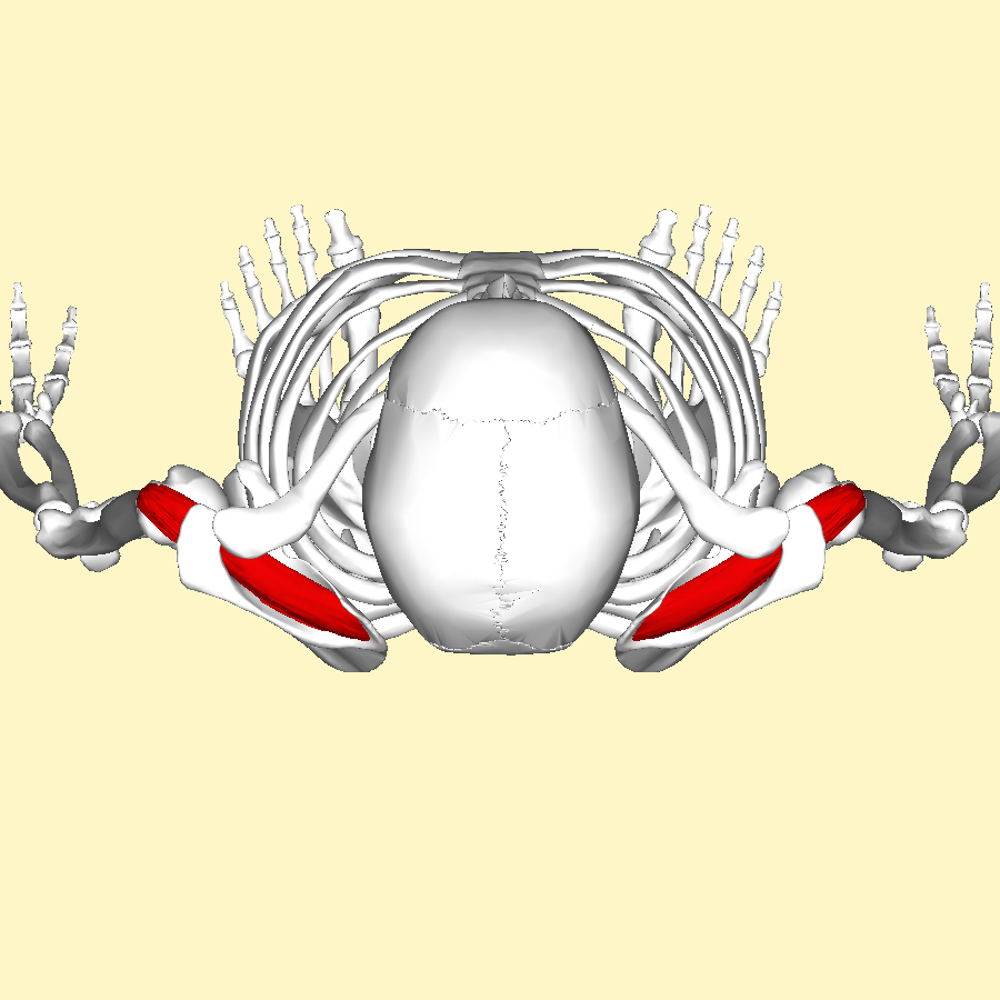 File:Supraspinatus muscle top.png - Wikimedia Commons