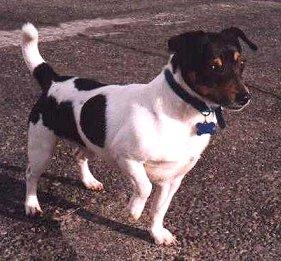 Teddy Roosevelt Terrier Dog breed