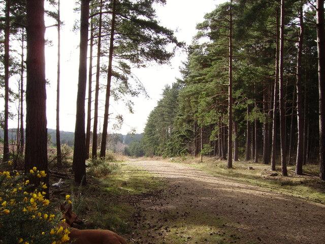 Track through Swinley Forest - geograph.org.uk - 714801