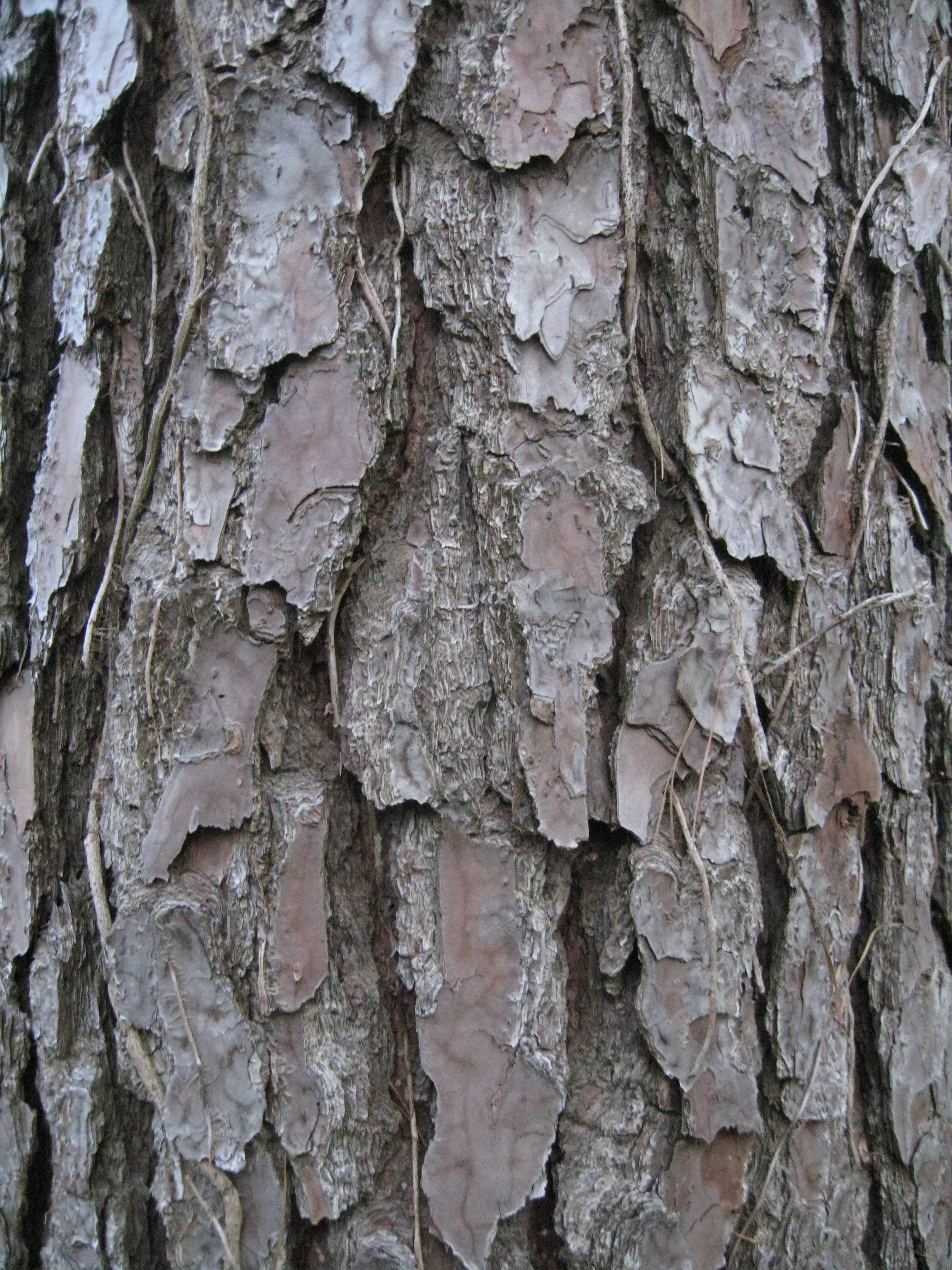 Wiki: Pine - upcScavenger Different Types Of Tree Bark