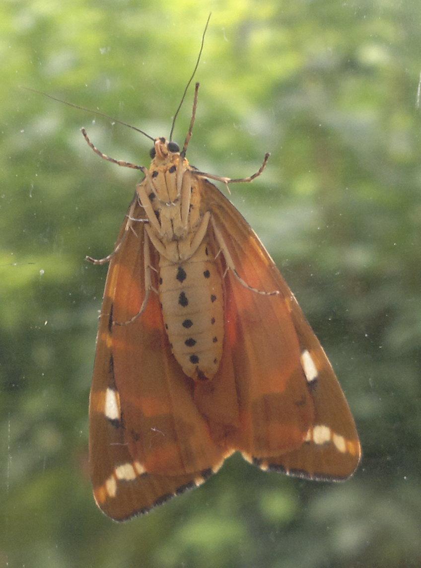 File:Underside of a Jersey tiger moth.jpg - Wikimedia Commons