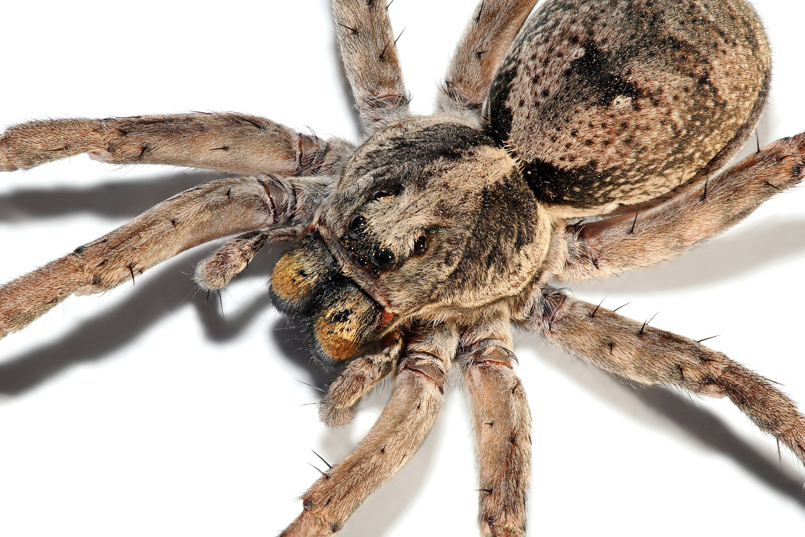 http://upload.wikimedia.org/wikipedia/commons/7/73/Wolf_spider_focus_bracket02.jpg
