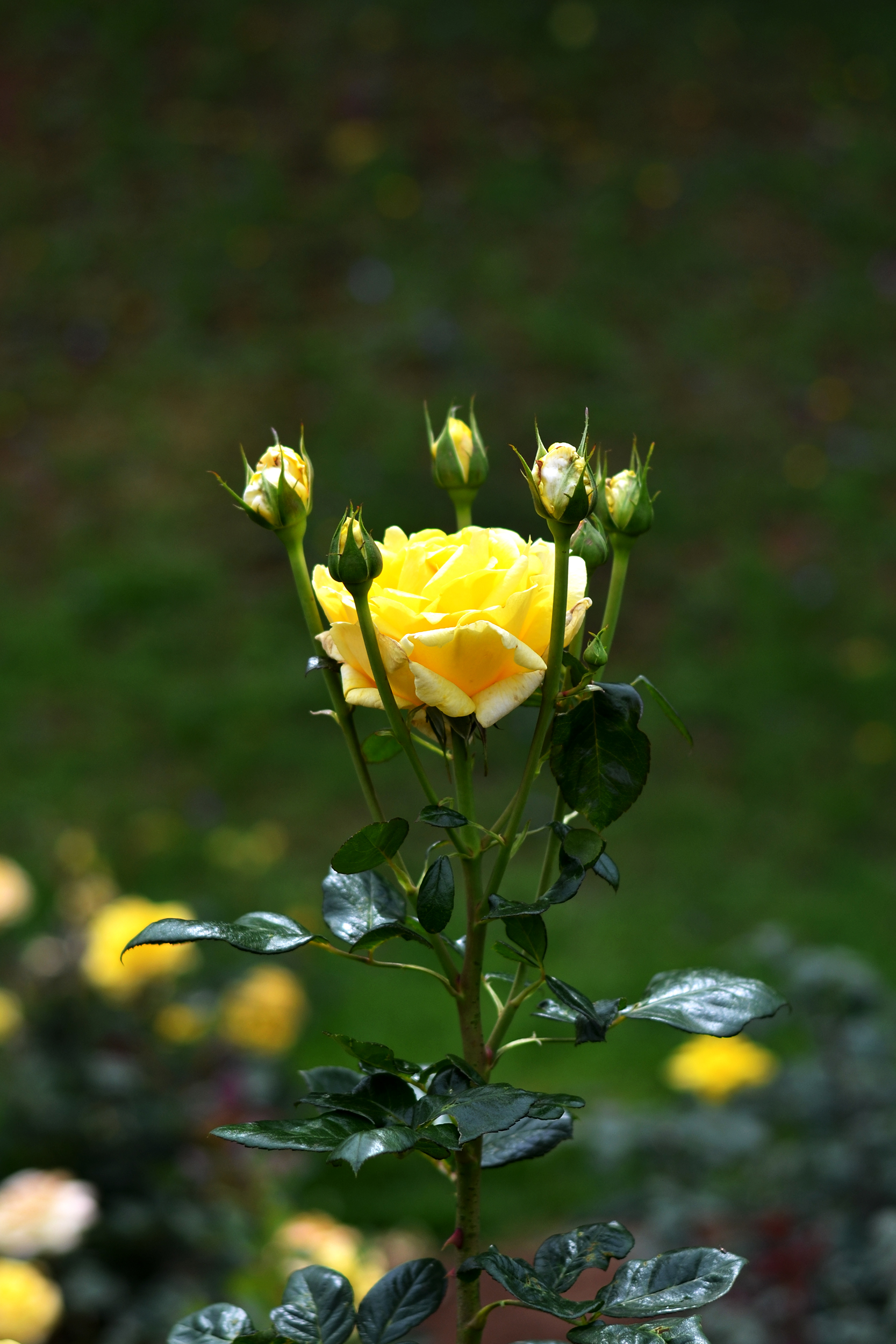 Fileyellow Rose Flowerg Wikipedia